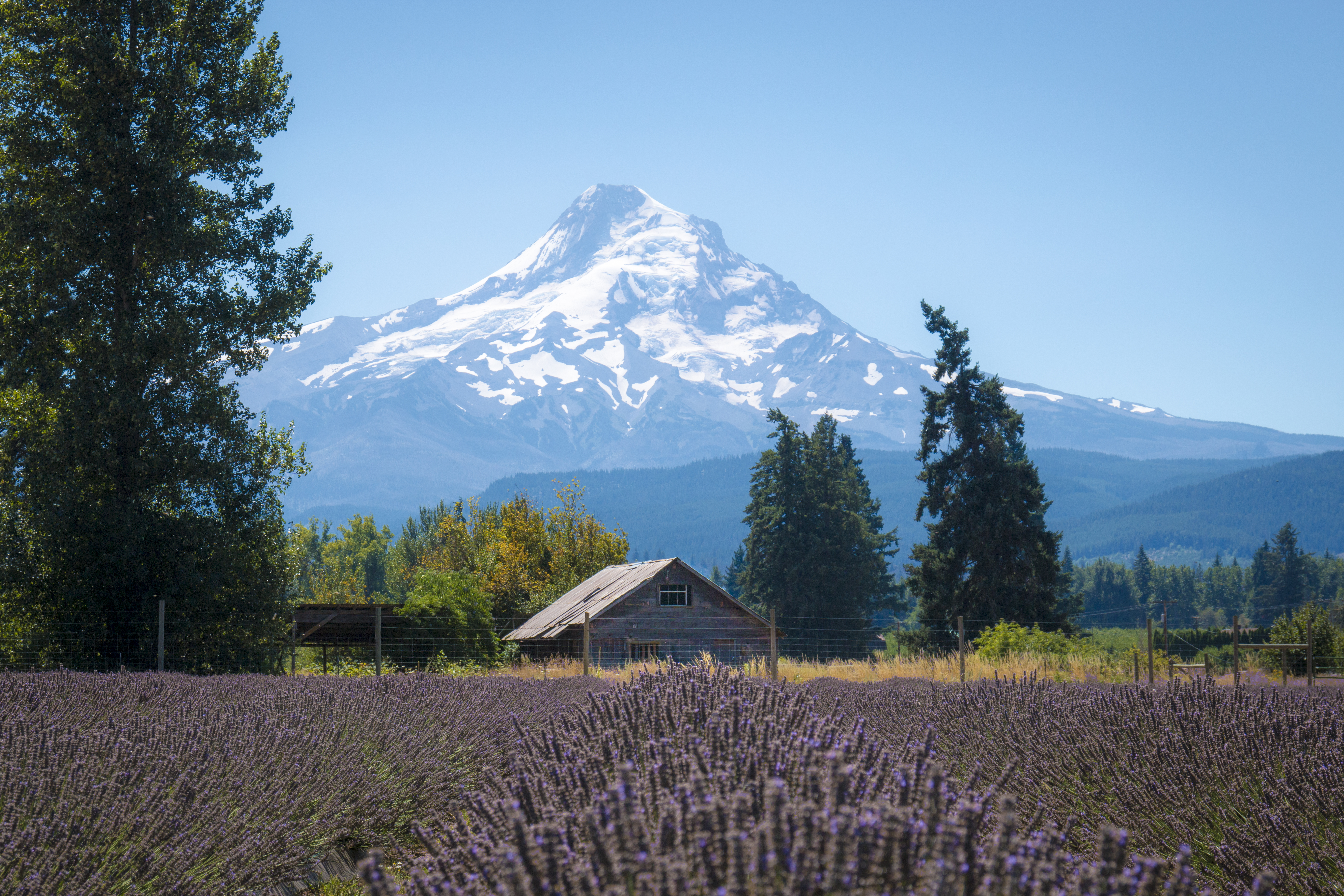 Lavender valley, hood river, oregon, with mt. hood photo