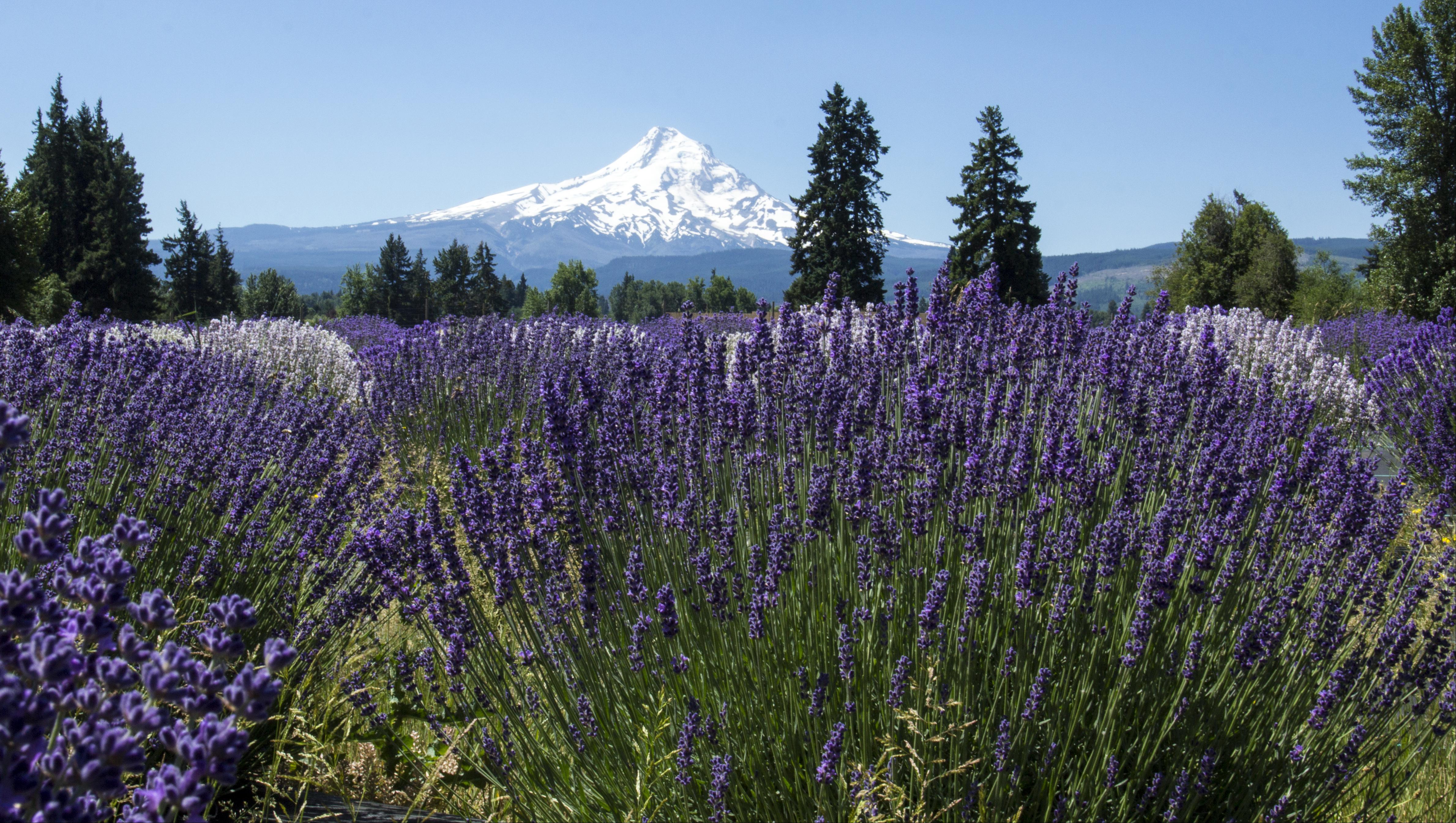Lavender Valley, Mt. Hood, Oregon, Farm, Purple, Trees, Tree, HQ Photo