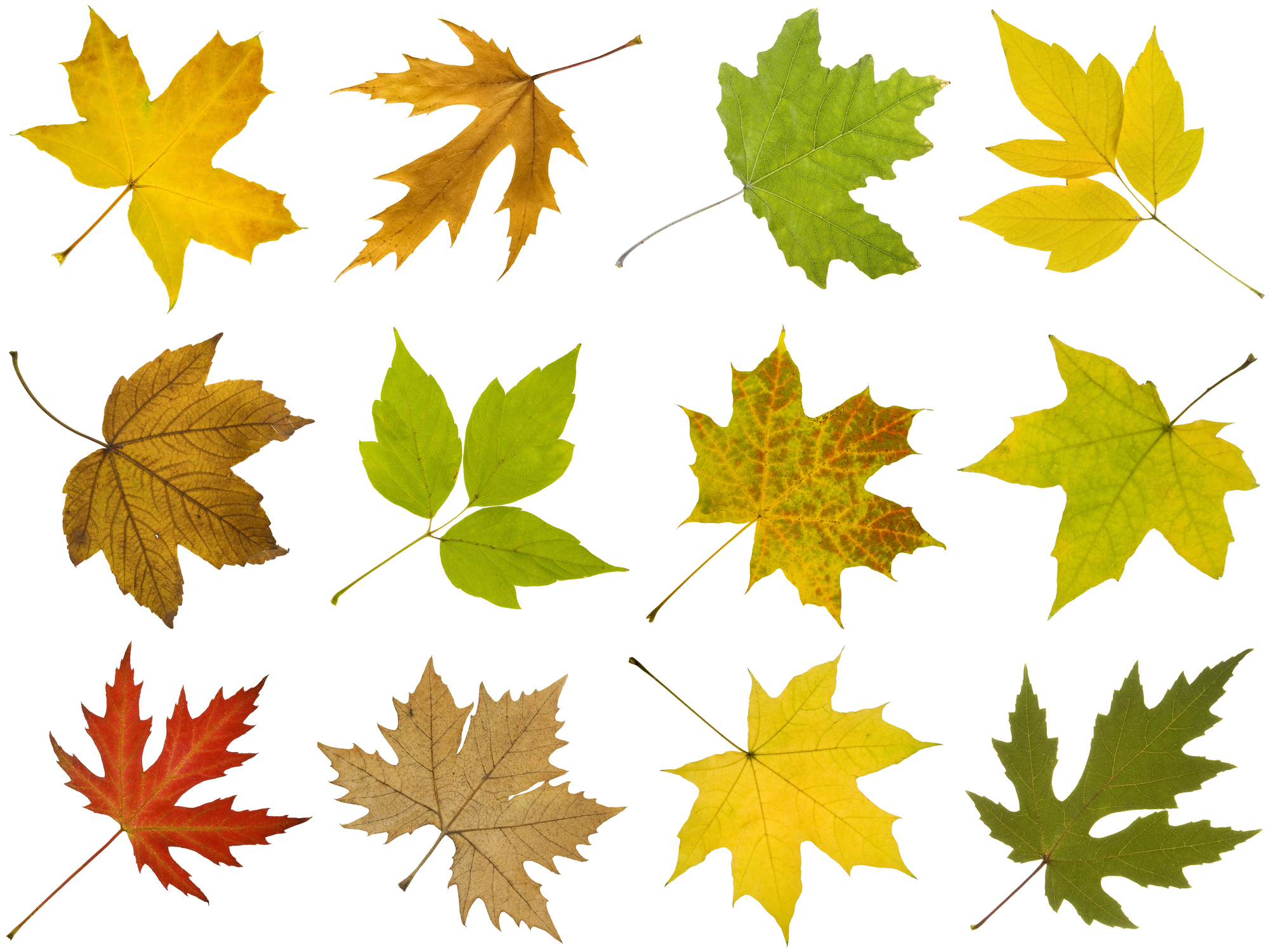 How to Identify Maple Tree Varieties
