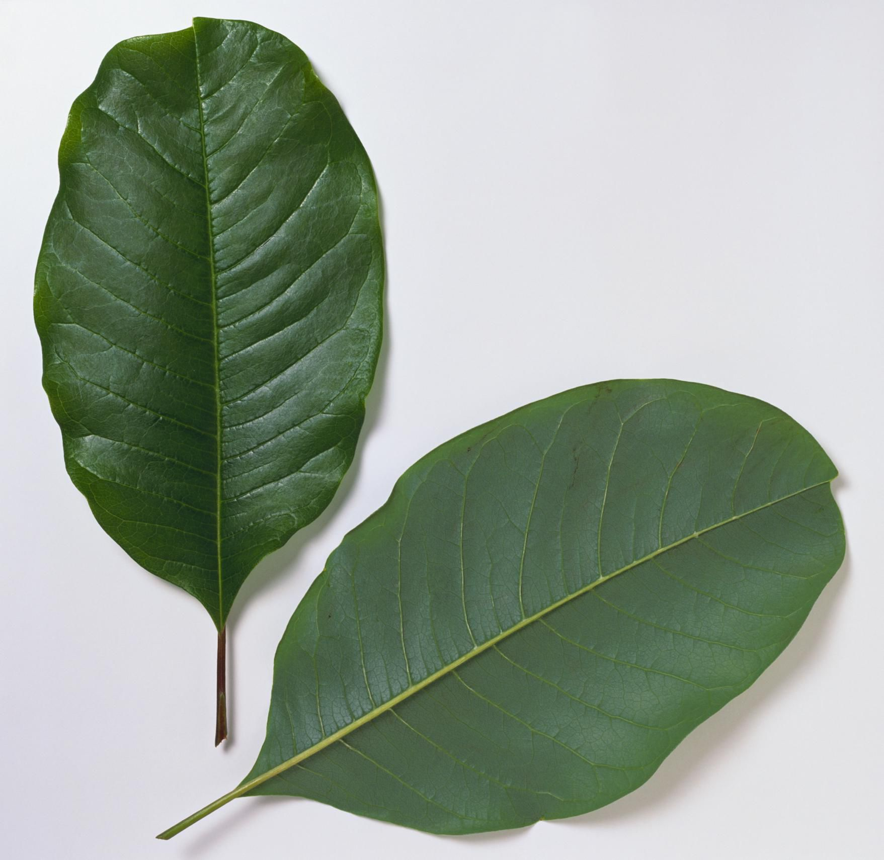 Tree Leaf Key - Magnolia, Persimmon, Dogwood, Live Oak