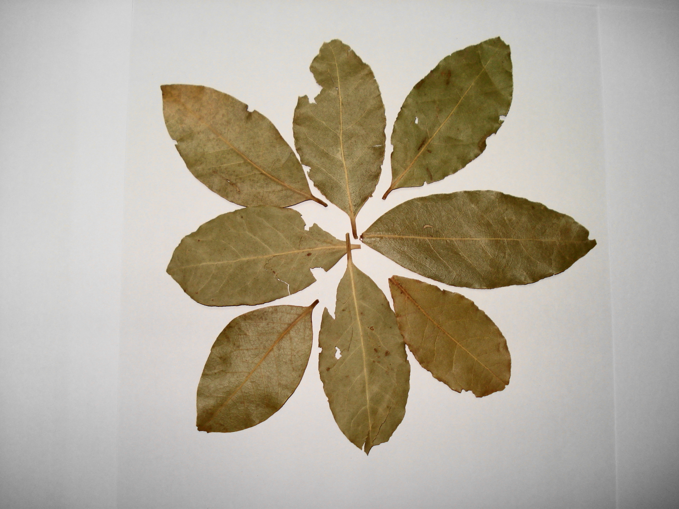 Bay leaf - Wikipedia