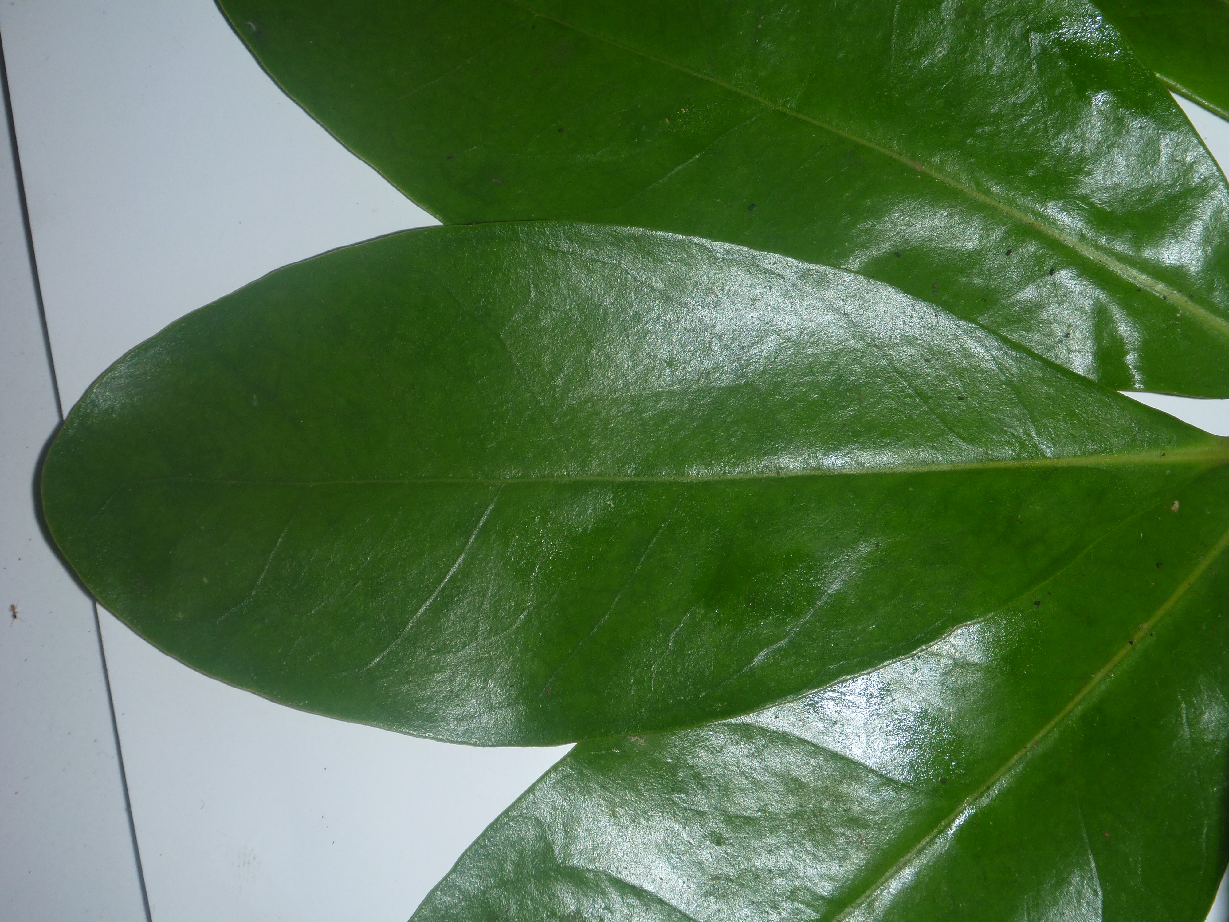 Anyone familiar with this mangrove leaf species?
