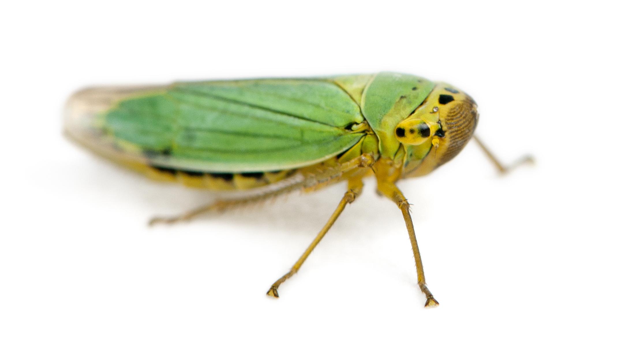 Leaf hopper photo