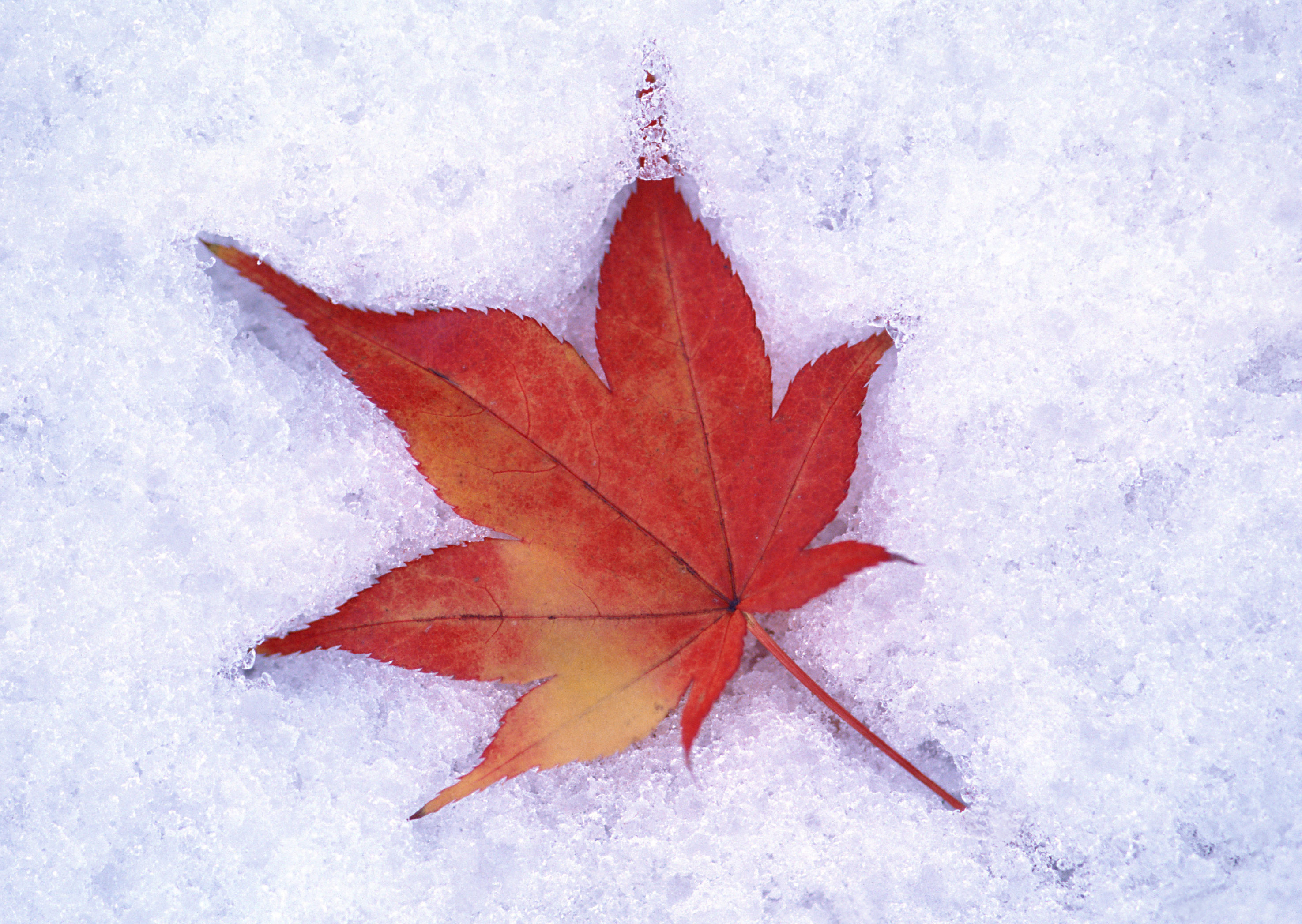 Autumn Leaf in the Snow Wallpaper | Gallery Yopriceville - High ...
