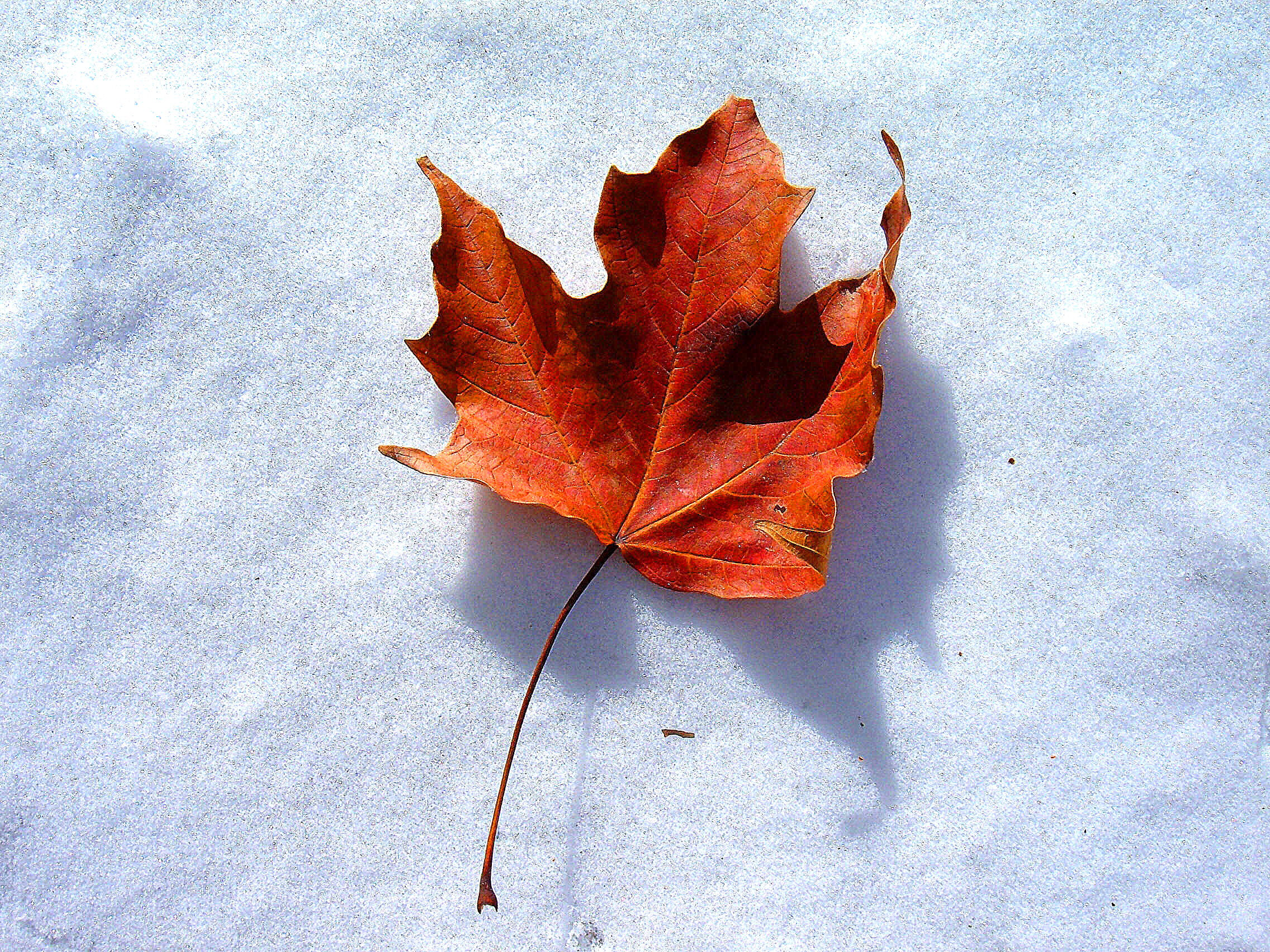 Snow Leaf-The End of Fall | photo page - everystockphoto