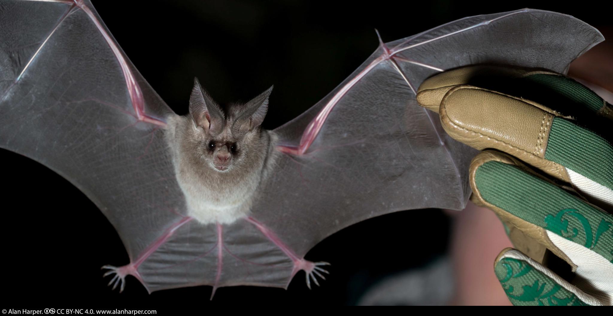 Leaf nosed bats photo