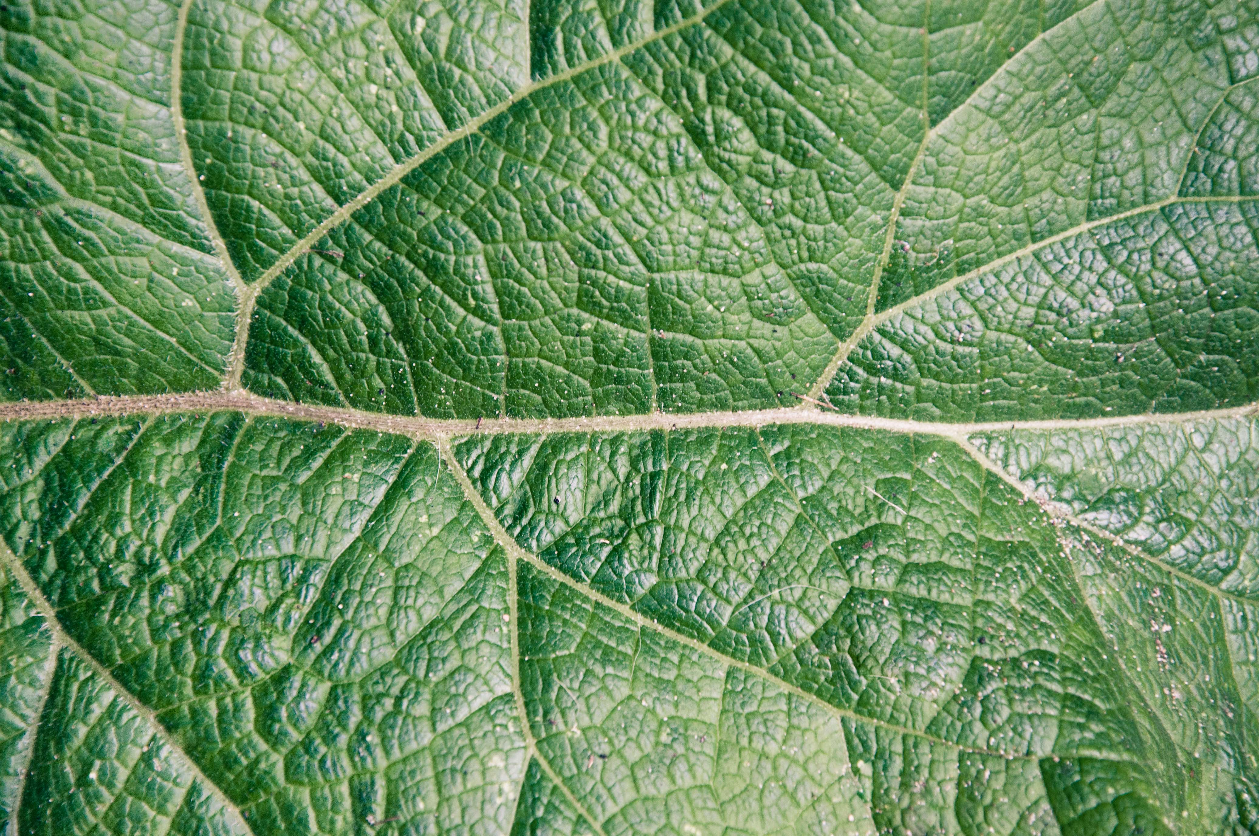 Free photo: Leaf texture - Abstract, Plant, Veins - Free Download - Jooinn