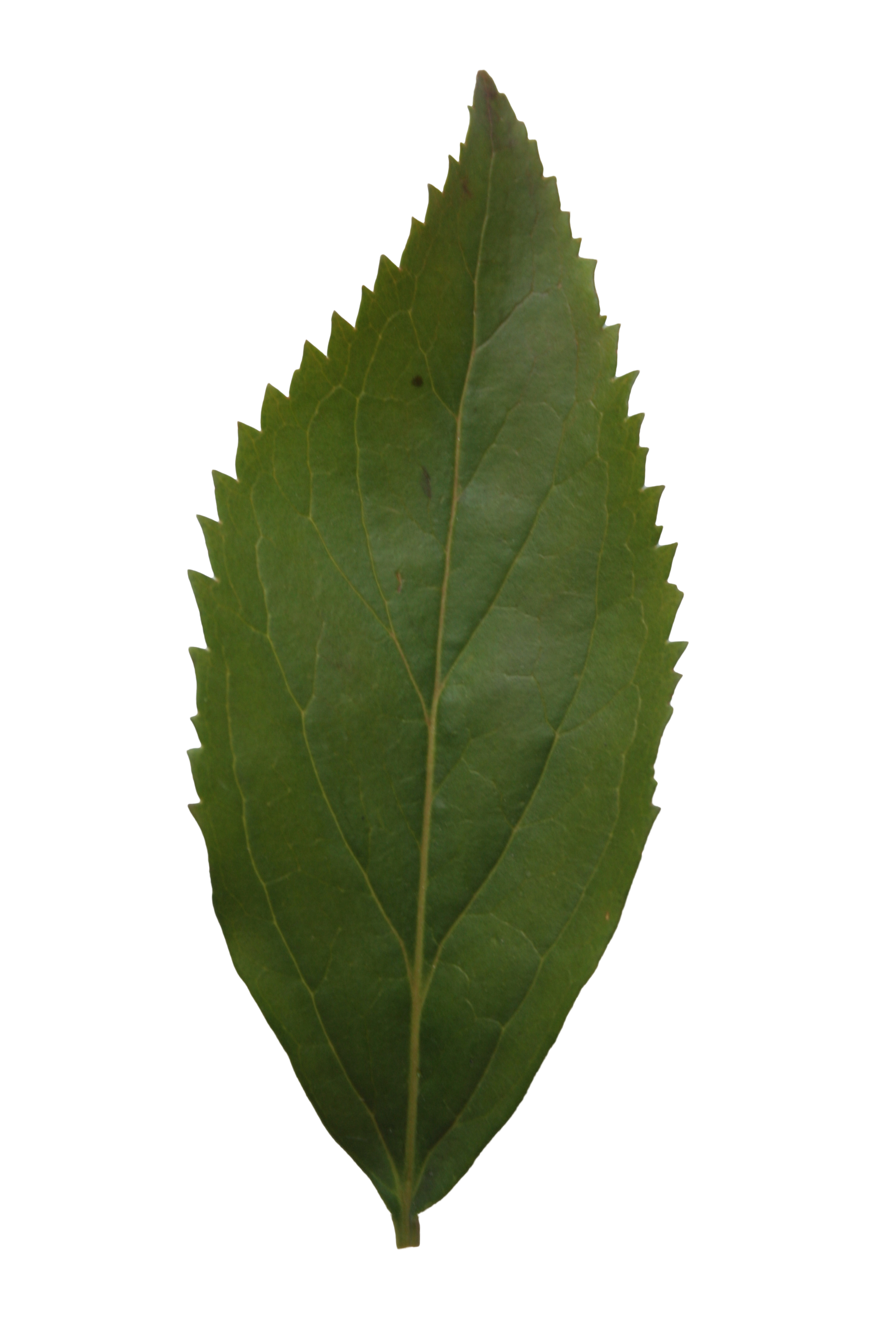 Ash leaf texture | Free Cut Out people, trees and leaves