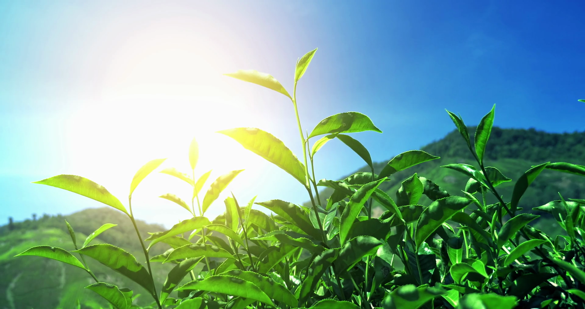Tea leaves under sunlight in India highlands nature. Blue sky and ...