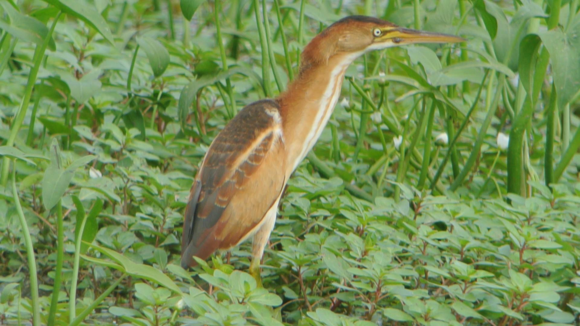 File:Least Bittern - juvenile (7932134506).jpg - Wikimedia Commons