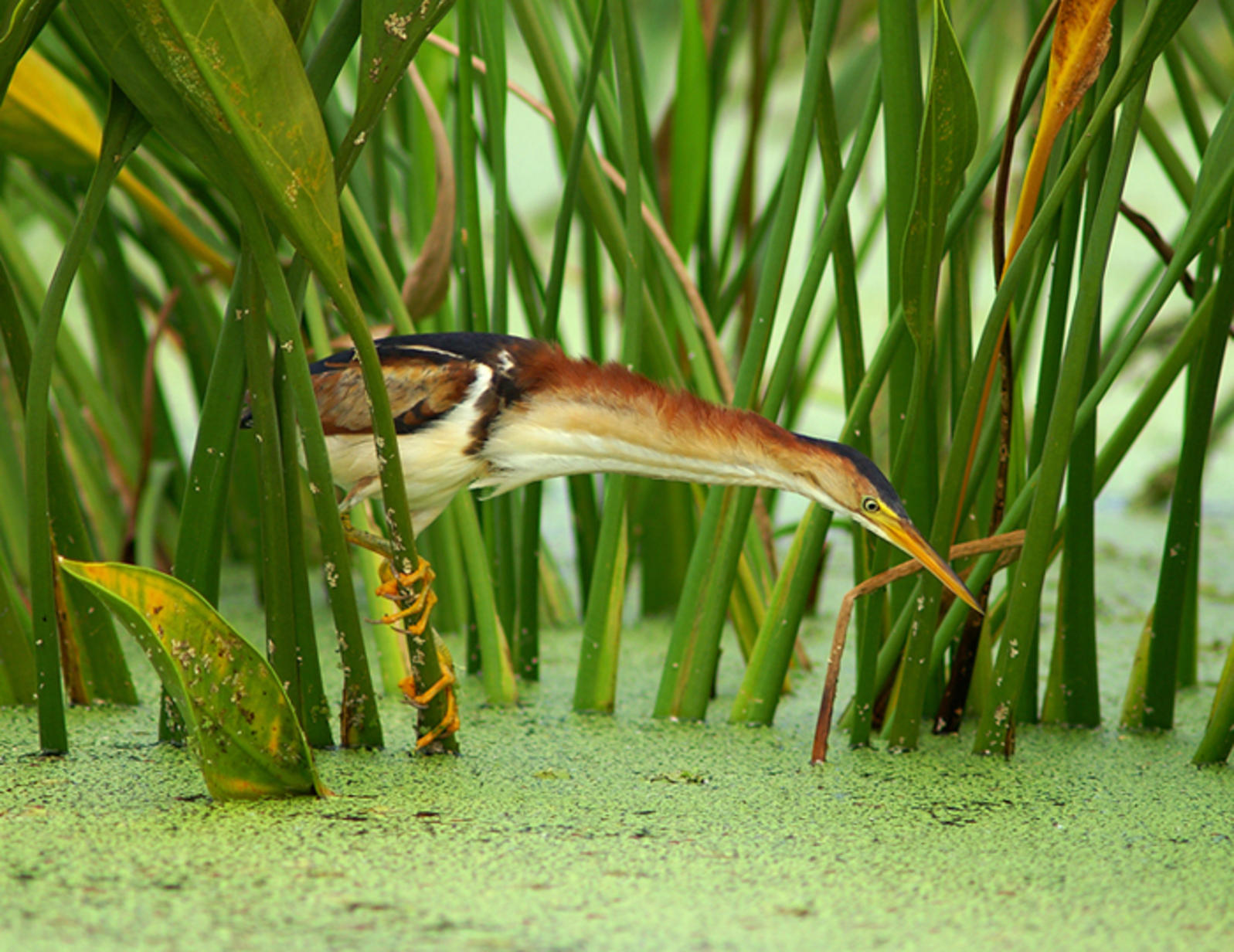 Photo of the Day: Least Bittern | Audubon