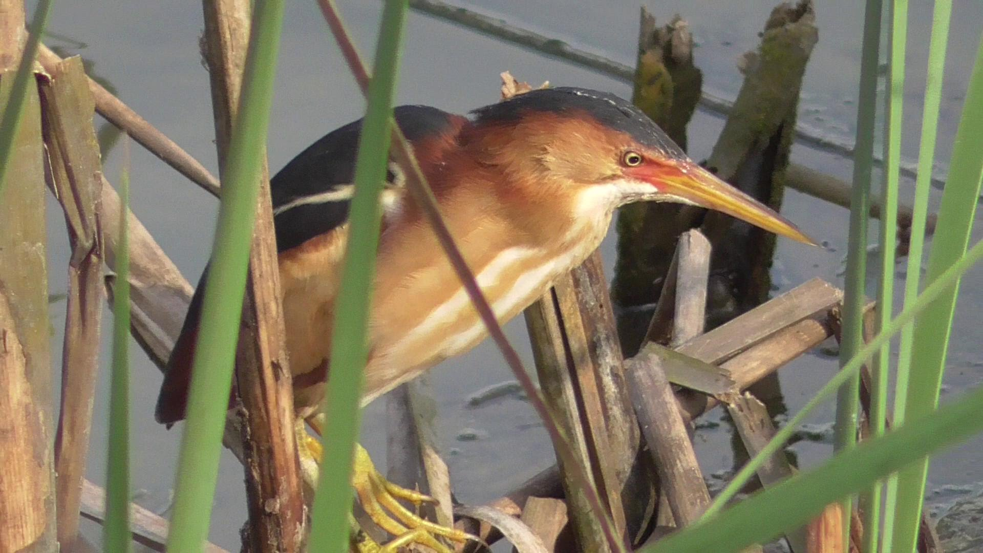 Least Bittern - YouTube