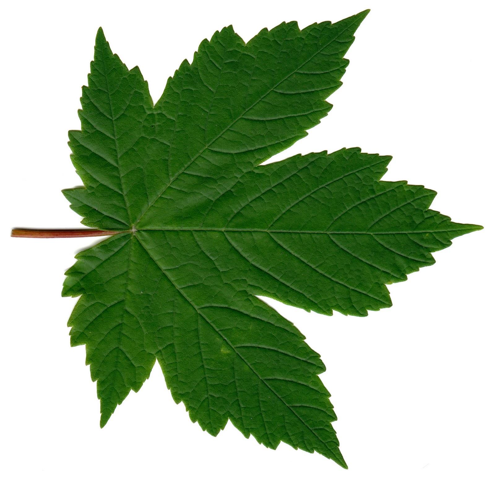 free photo leave plant nature leaf free download jooinn