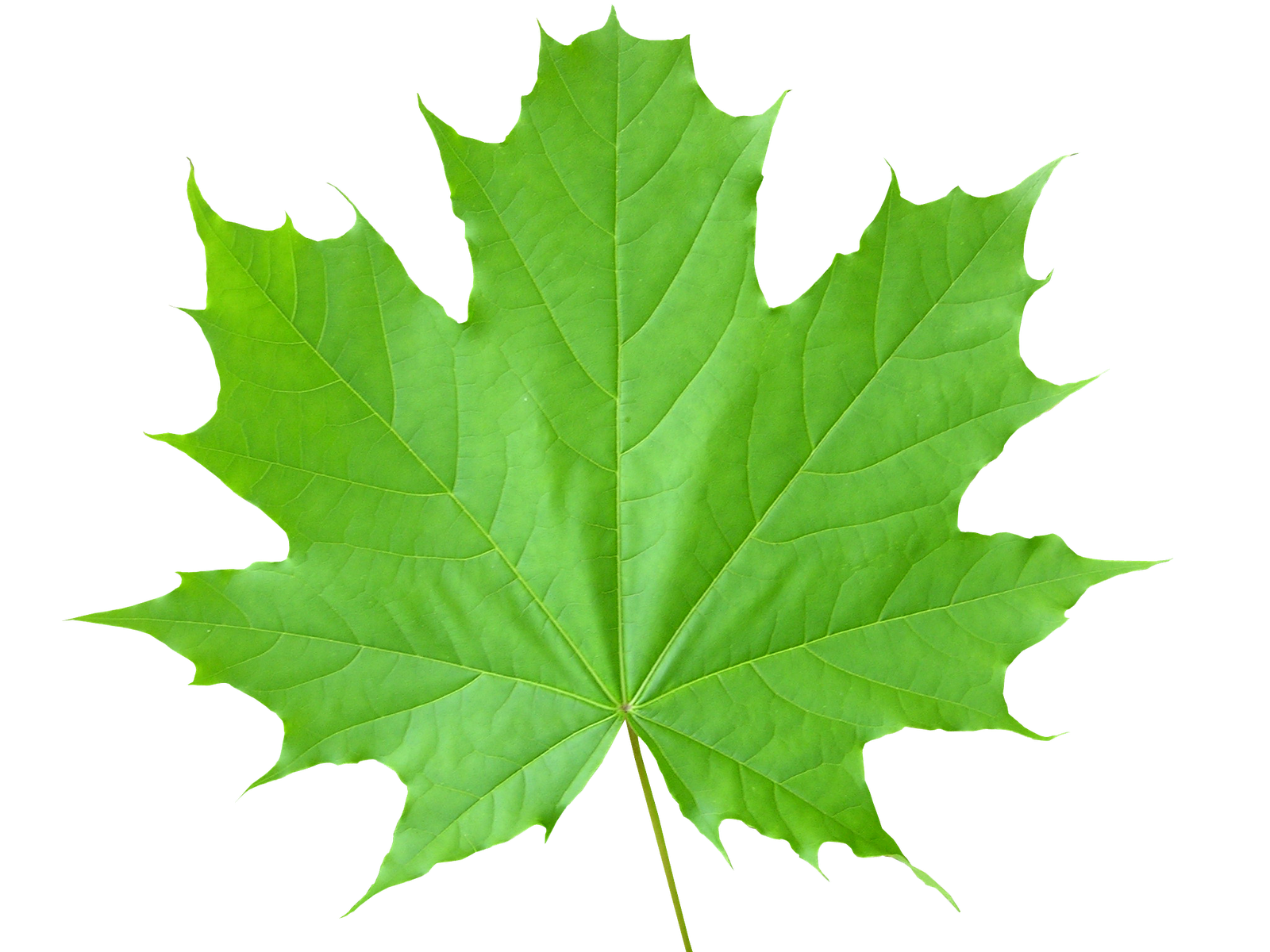 Green leaves PNG images
