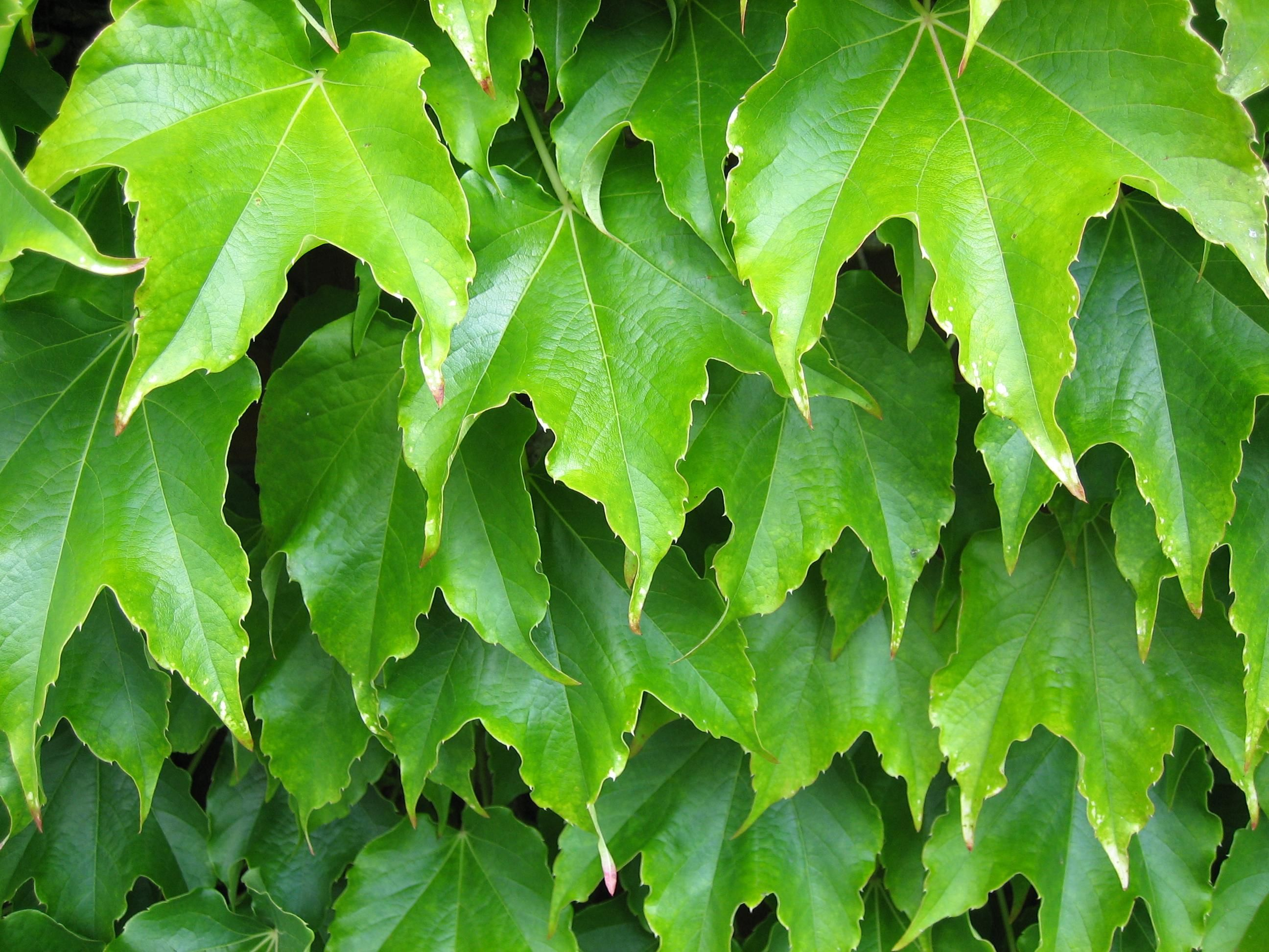 Free picture: plant, leaves, green