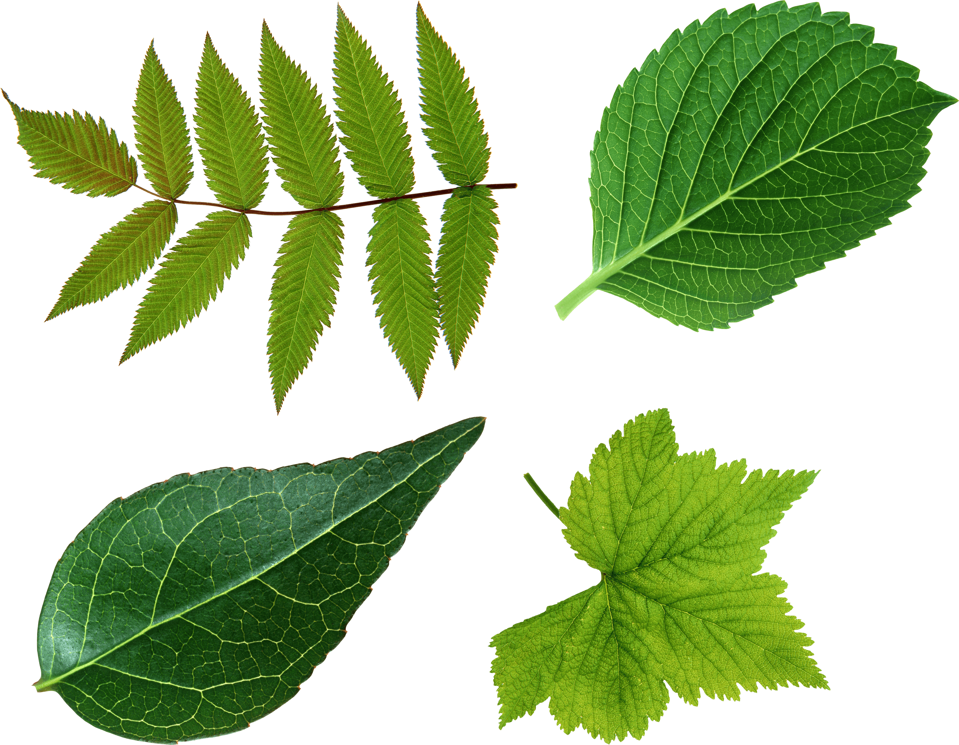 Download Green Leaves Free PNG photo images and clipart | FreePNGImg