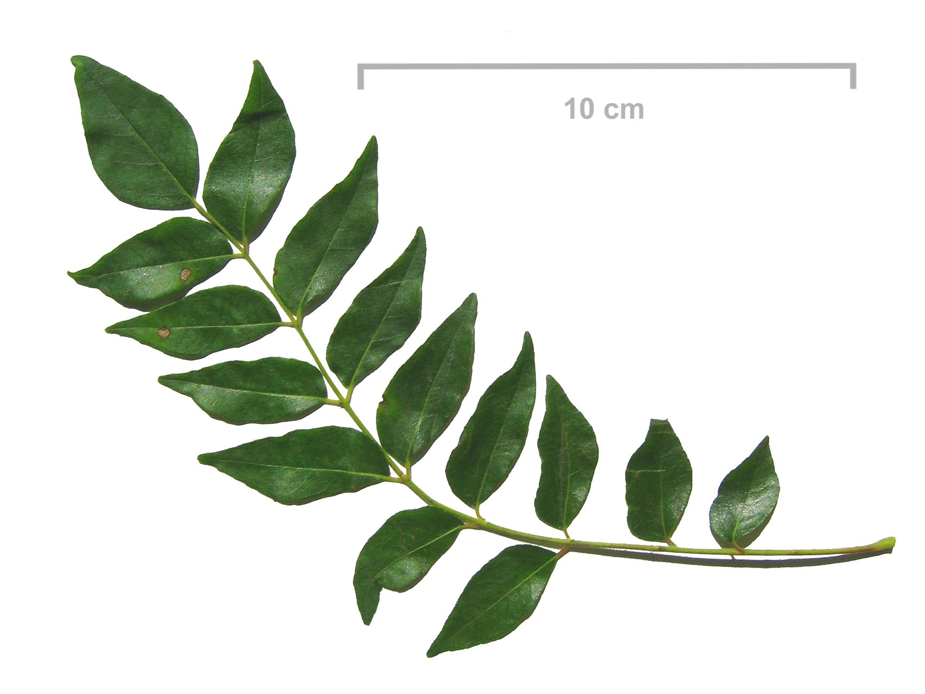Curry Leaves - VVRS Australia
