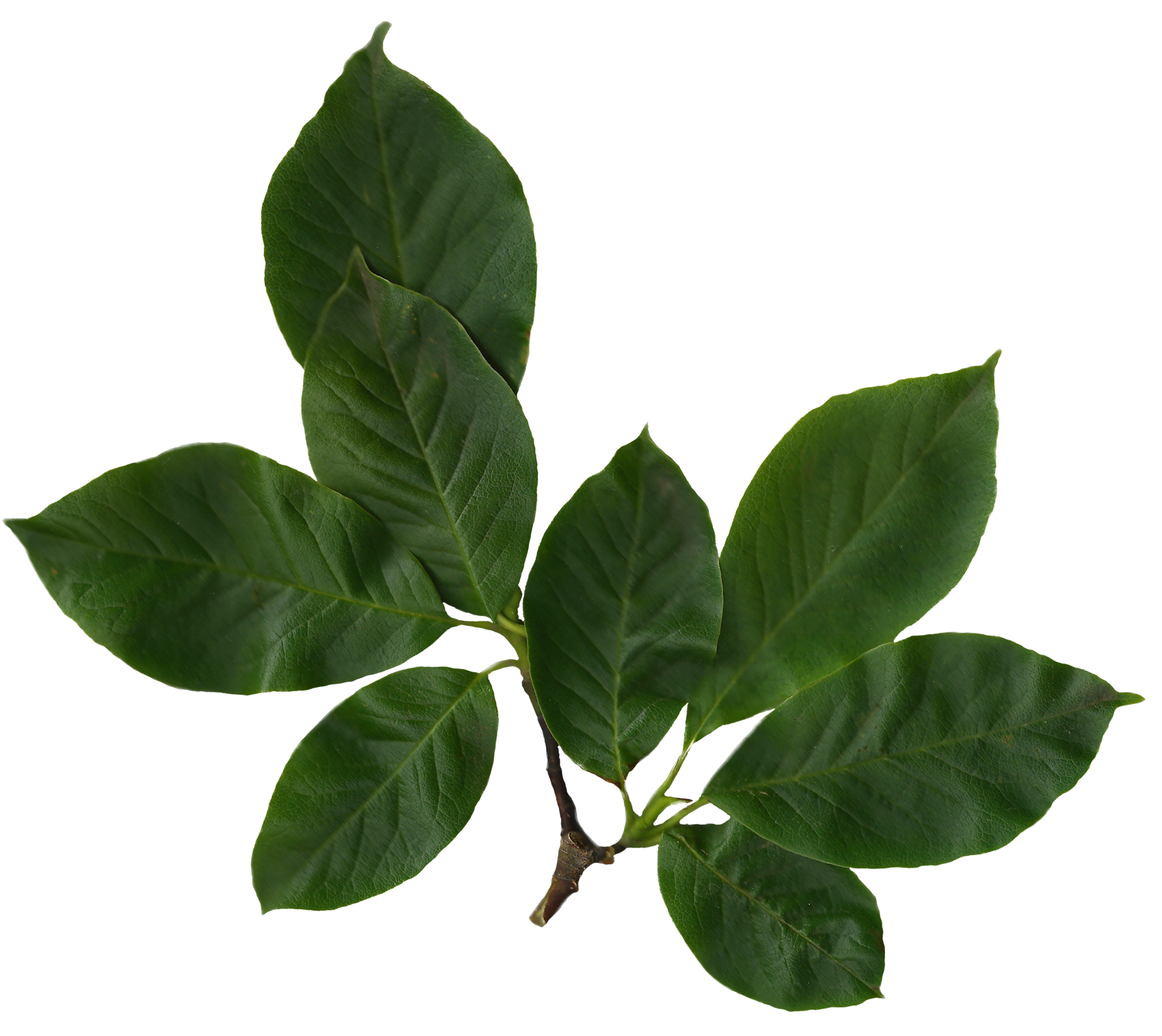 File:Magnolia soulangiana scanned leaves.png - Wikimedia Commons