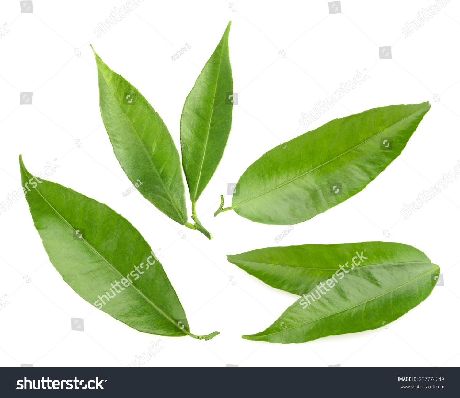 Leaves isolated photo