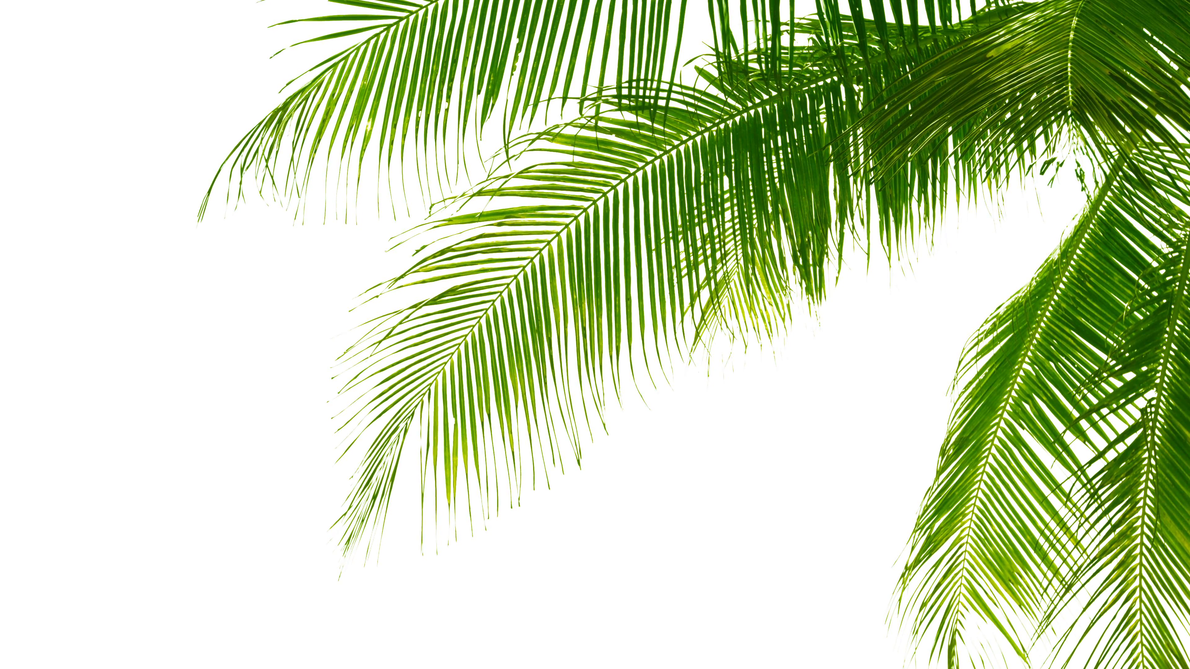 Palm leaves isolated on white background. Good material for collages ...