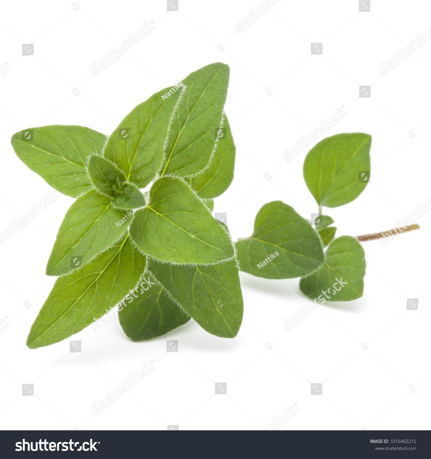 Oregano Marjoram Leaves Isolated On White Stock Photo 1016402215 ...