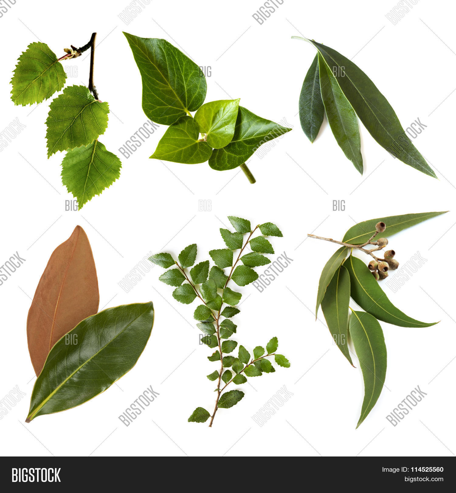 Variety Leaves, Isolated On White. Image & Photo | Bigstock