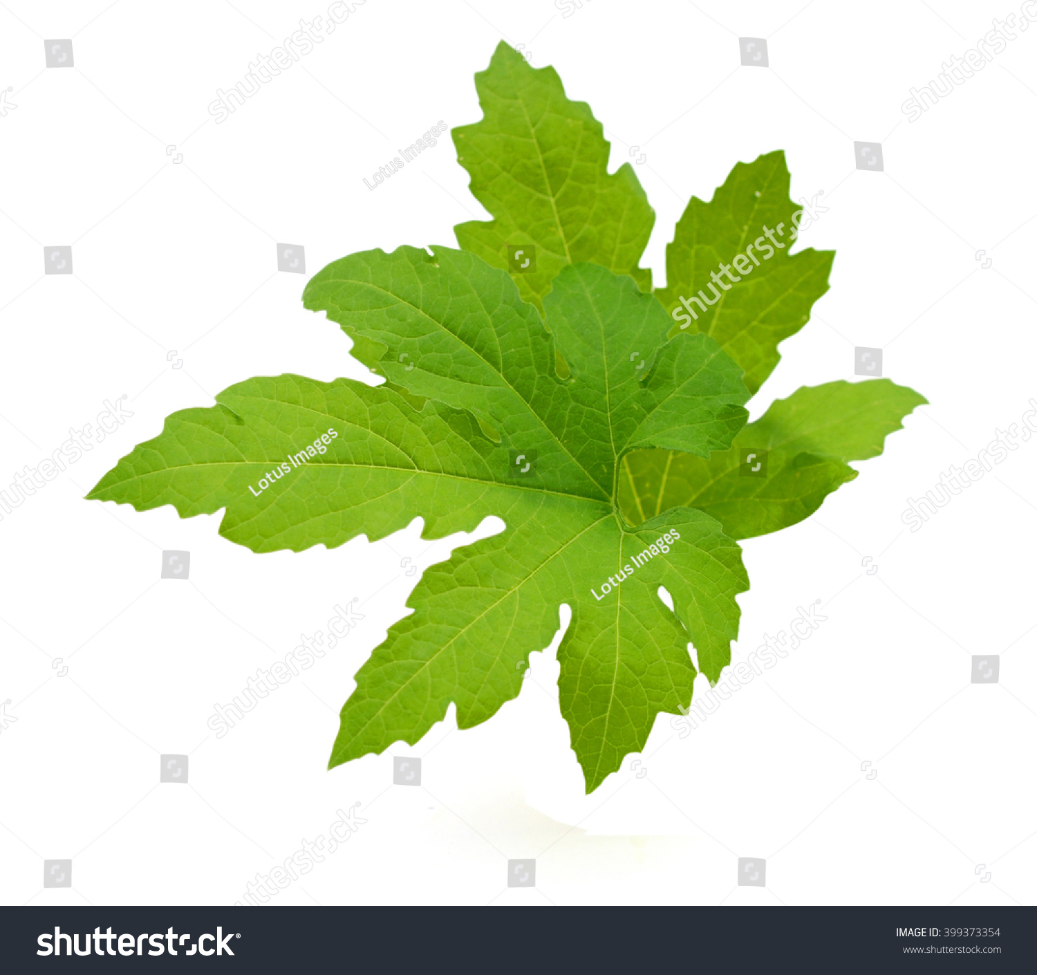 Young Bitter Melon Leaves Isolated Stock Photo (100% Legal ...