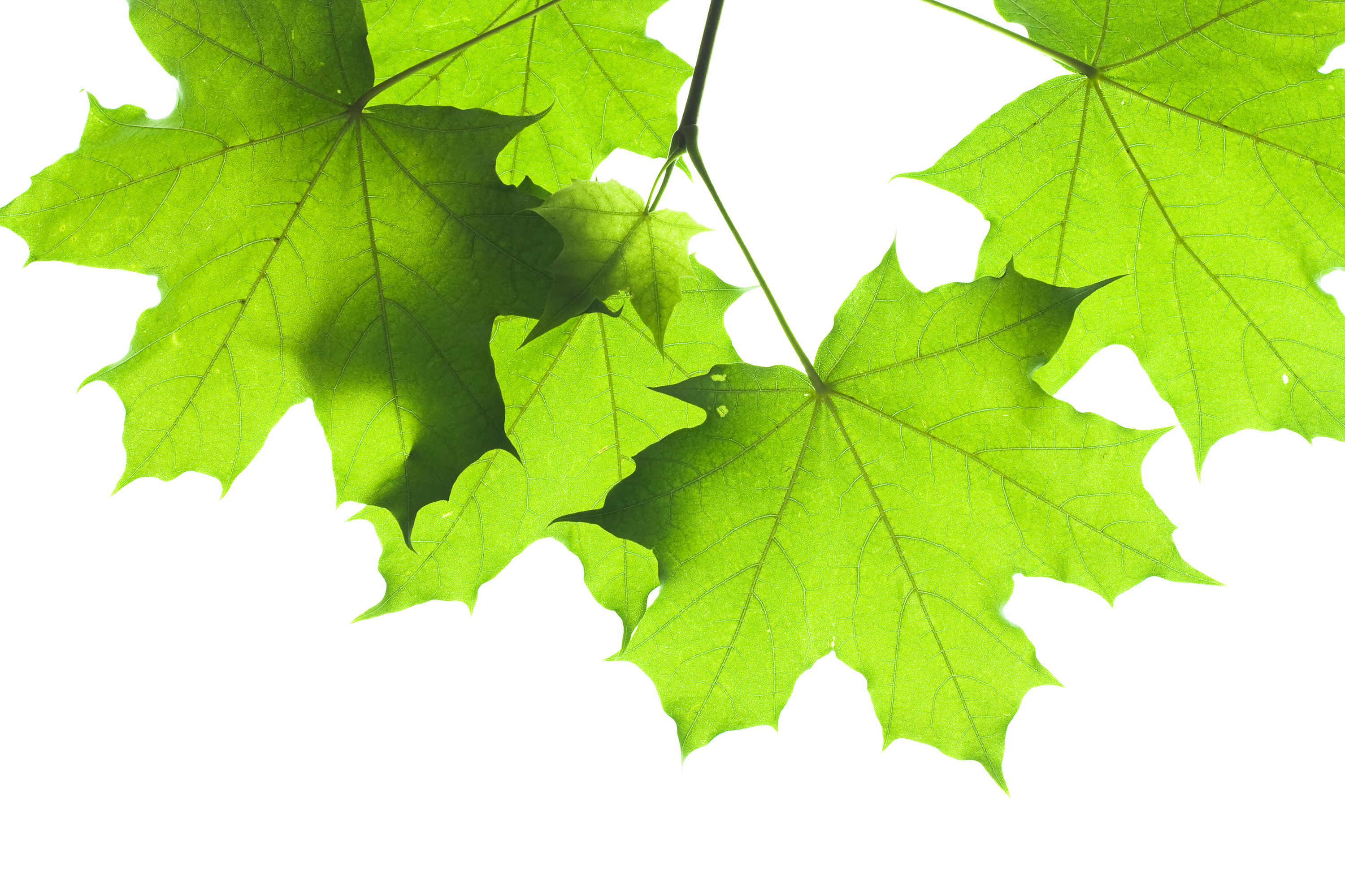 Leaves isolated, Plant, Ornate, Object, Nature, HQ Photo