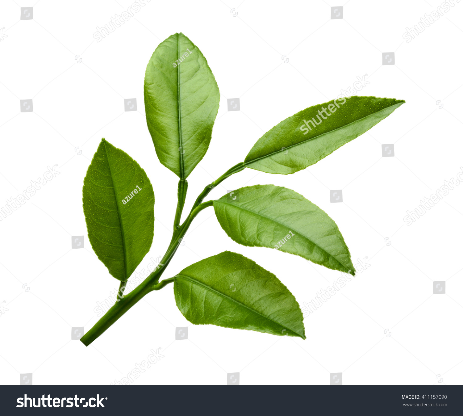 Lemon Leaves Isolated On White Background Stock Photo (Download Now ...