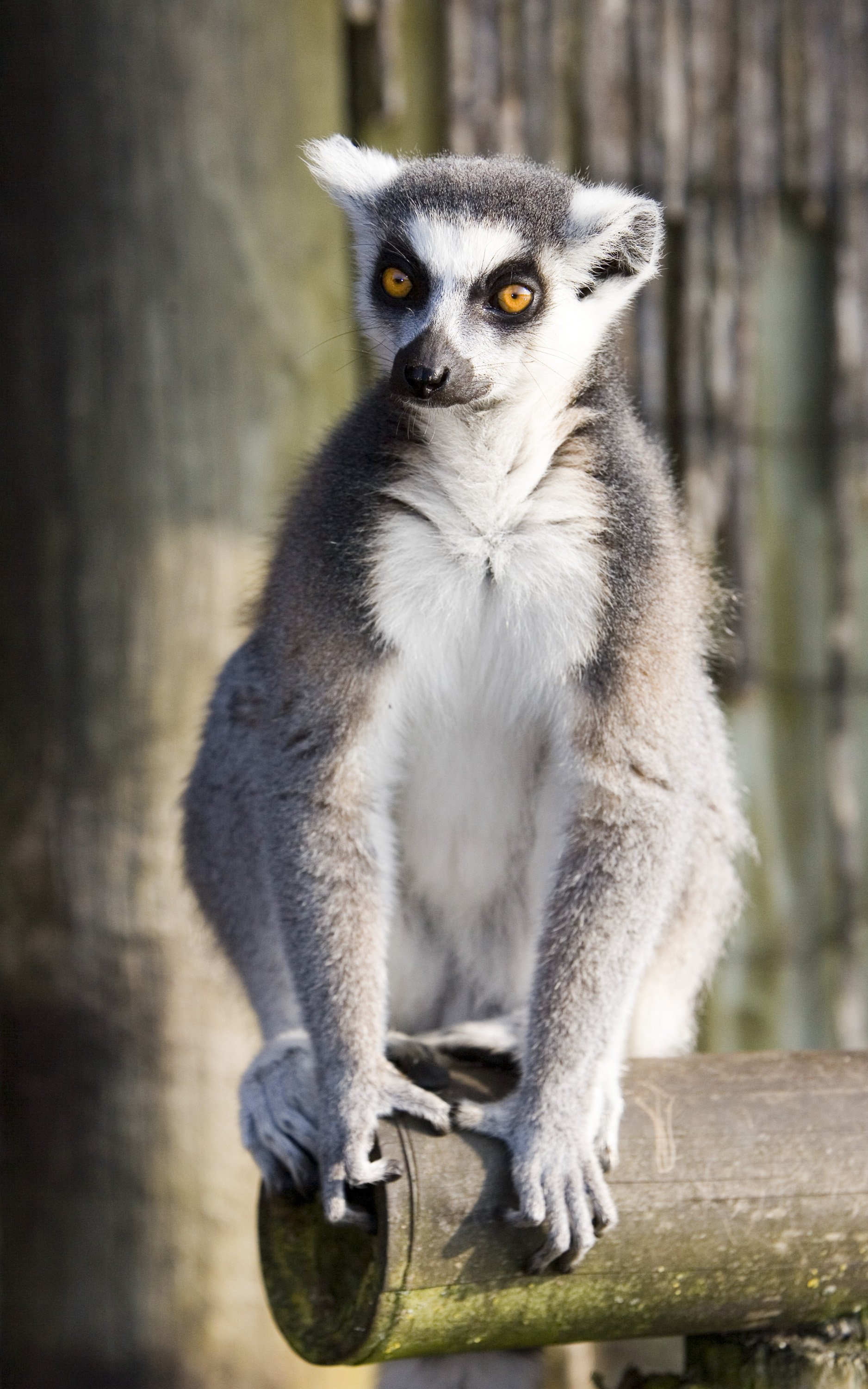 Ring Tailed Lemur - Fun Facts & Information For Kids - Folly Farm