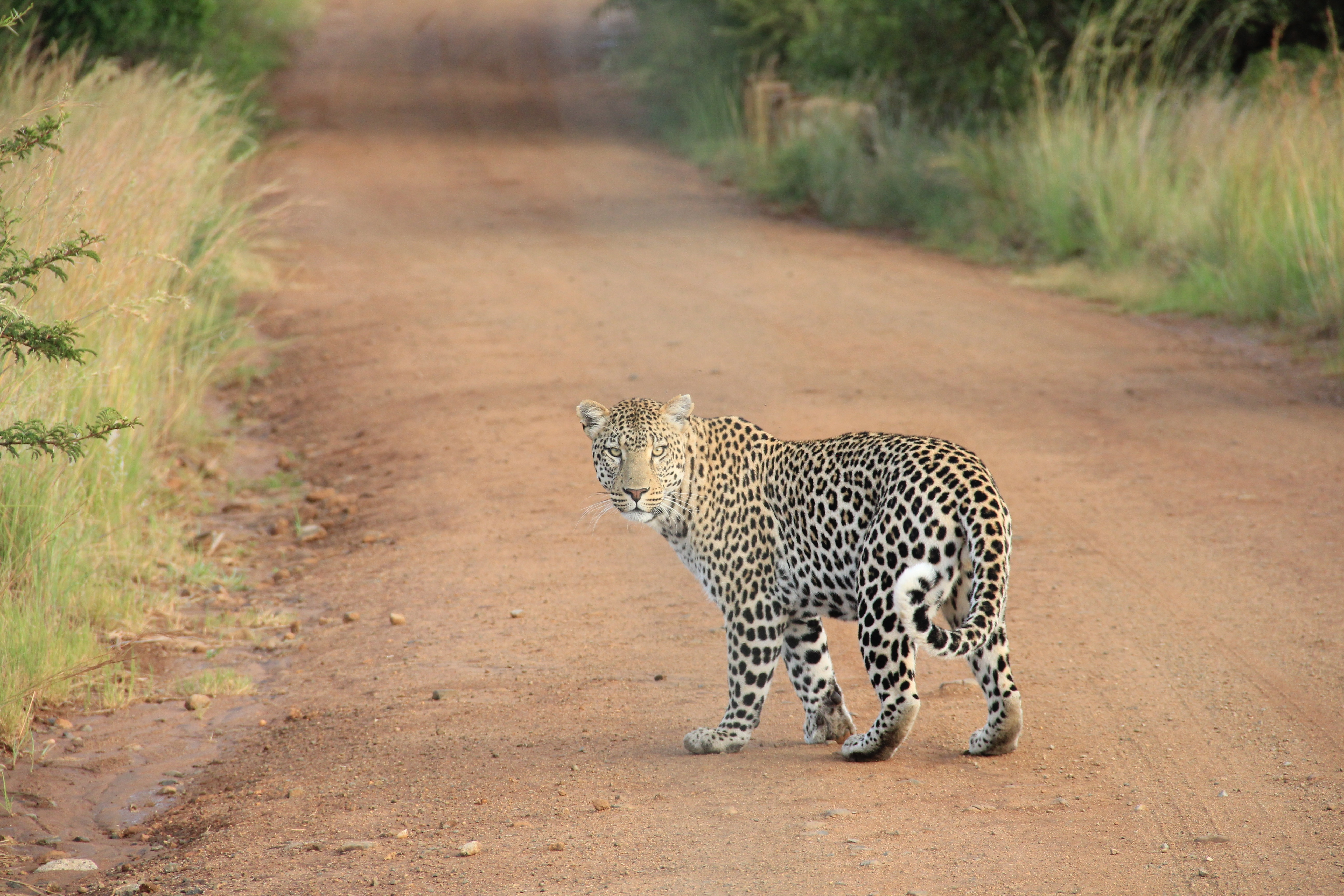 Leopard, Pathway, Quick, Route, Path, HQ Photo