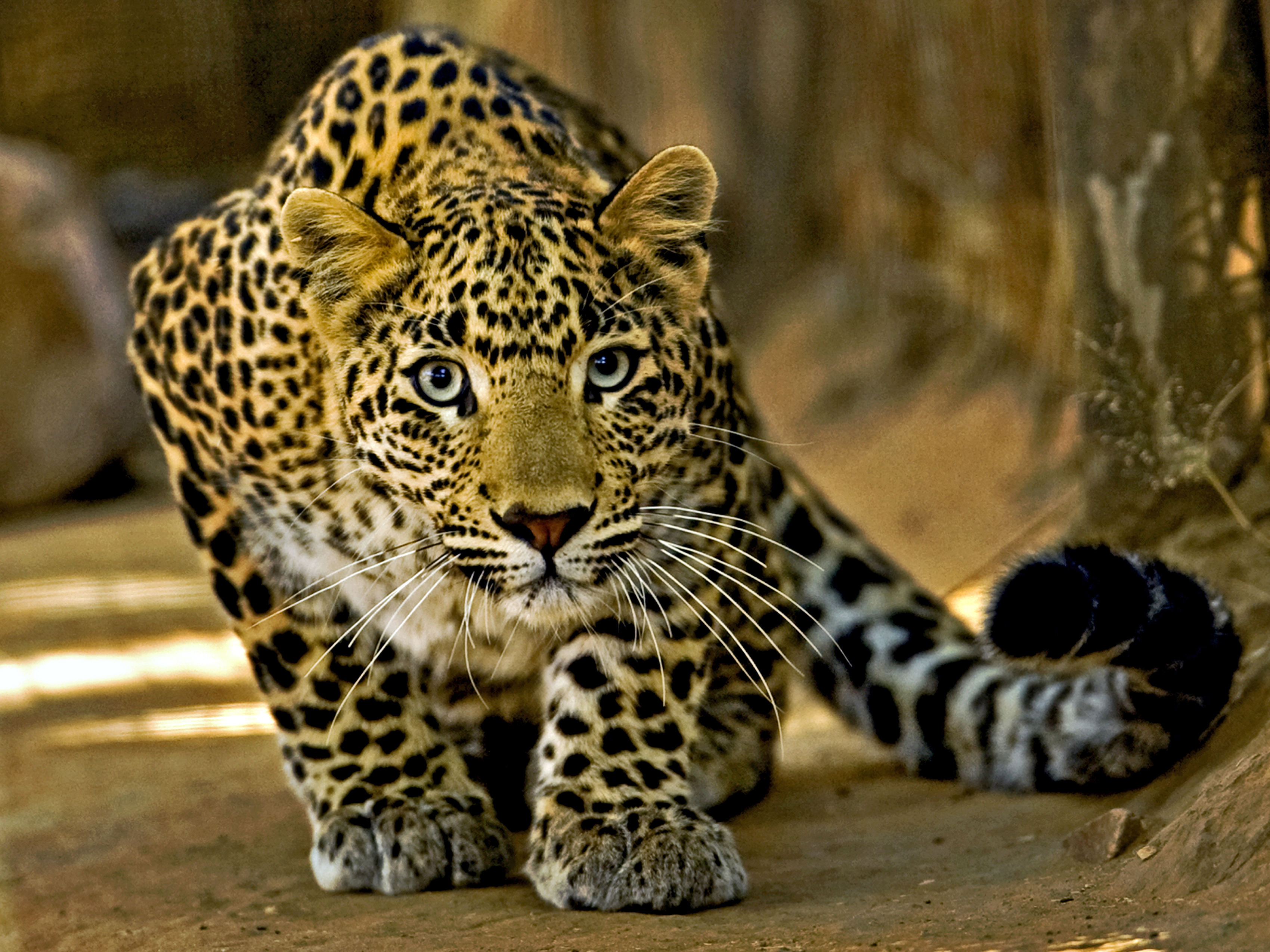 South Africa Prohibits All Leopard Hunting for 2016 | Time