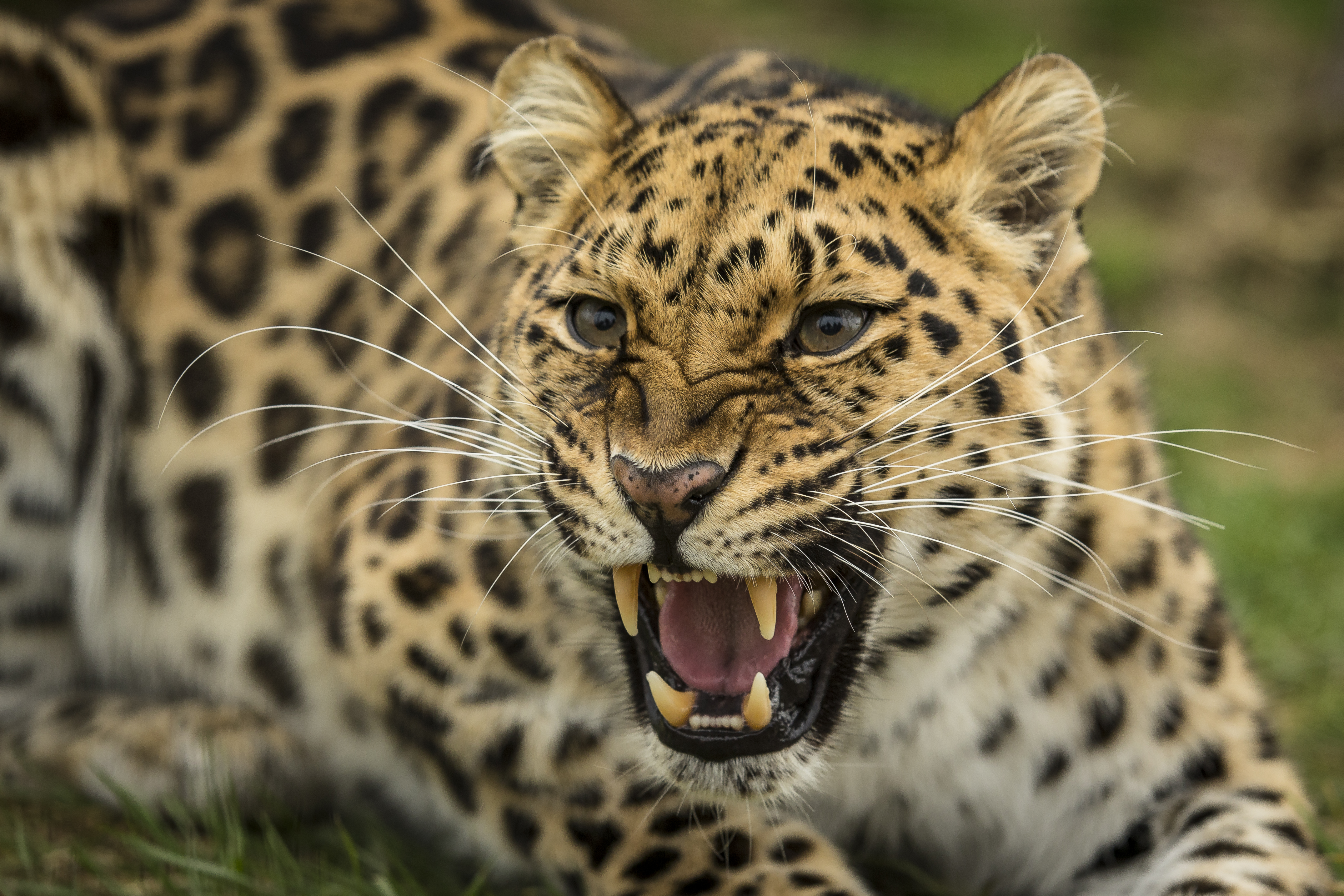 How the Amur leopard is making a comeback | AnimalAnswers.co.uk ...