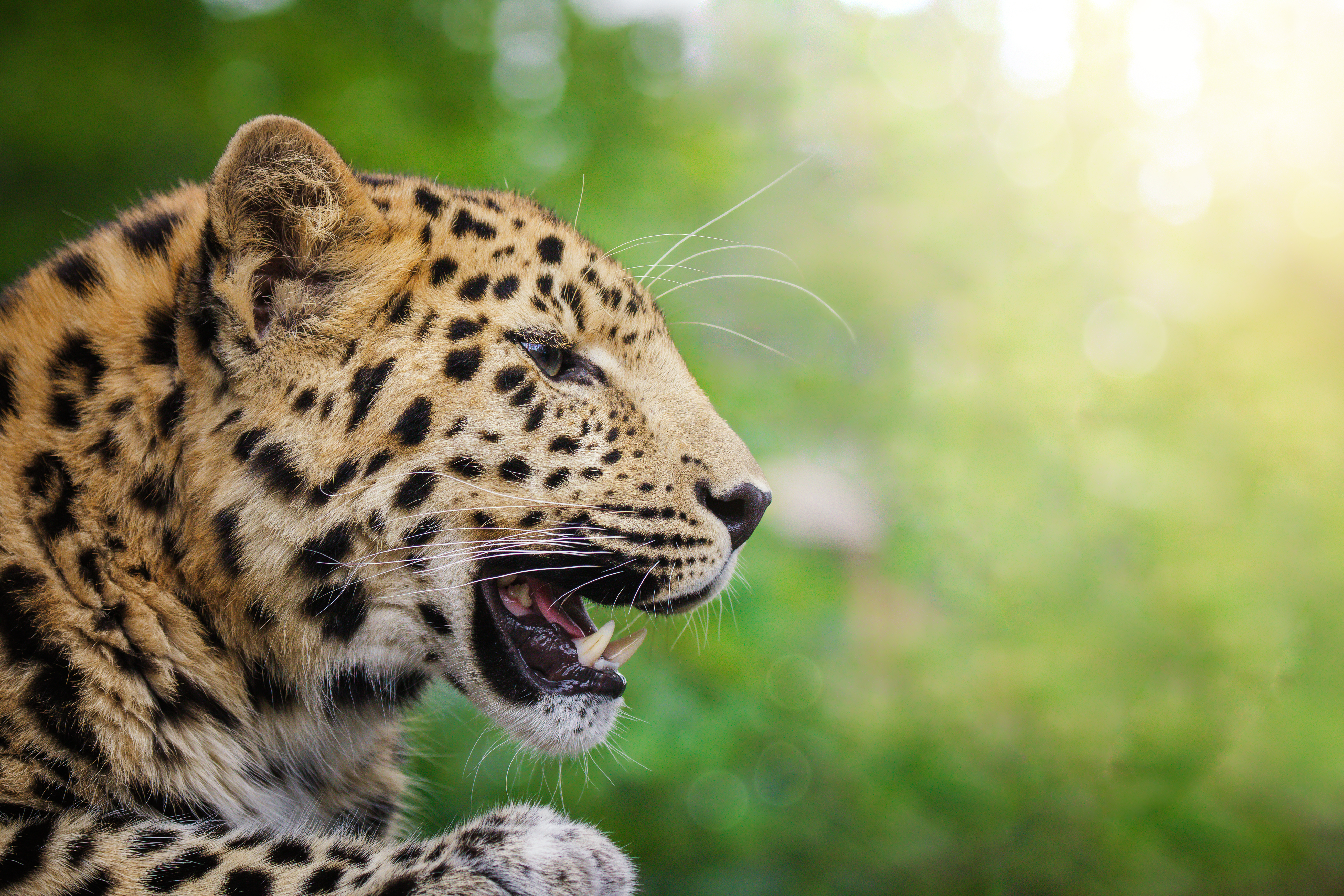 Amazing Facts about Amur Leopards | OneKindPlanet Animal Education