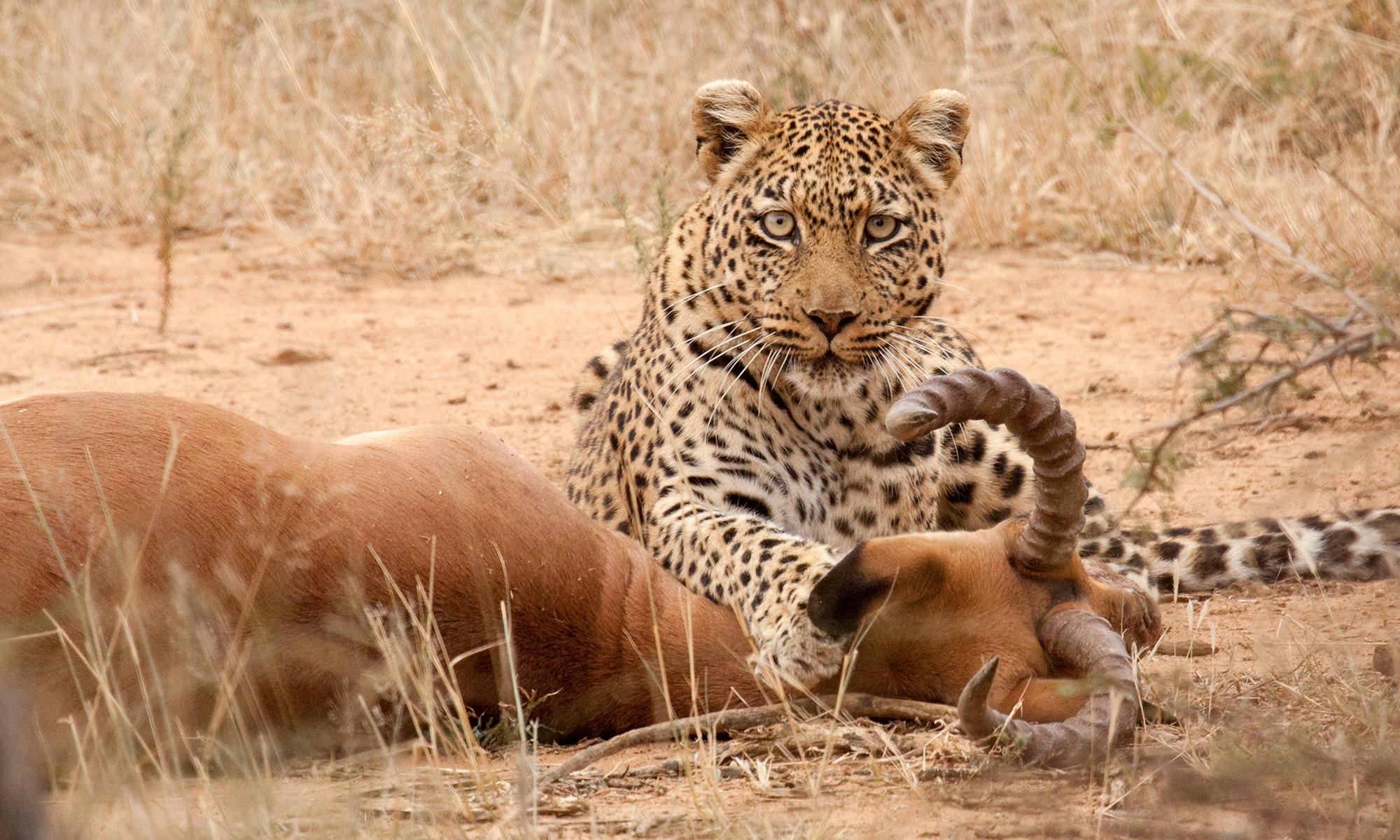 Leopard Predation | HowStuffWorks