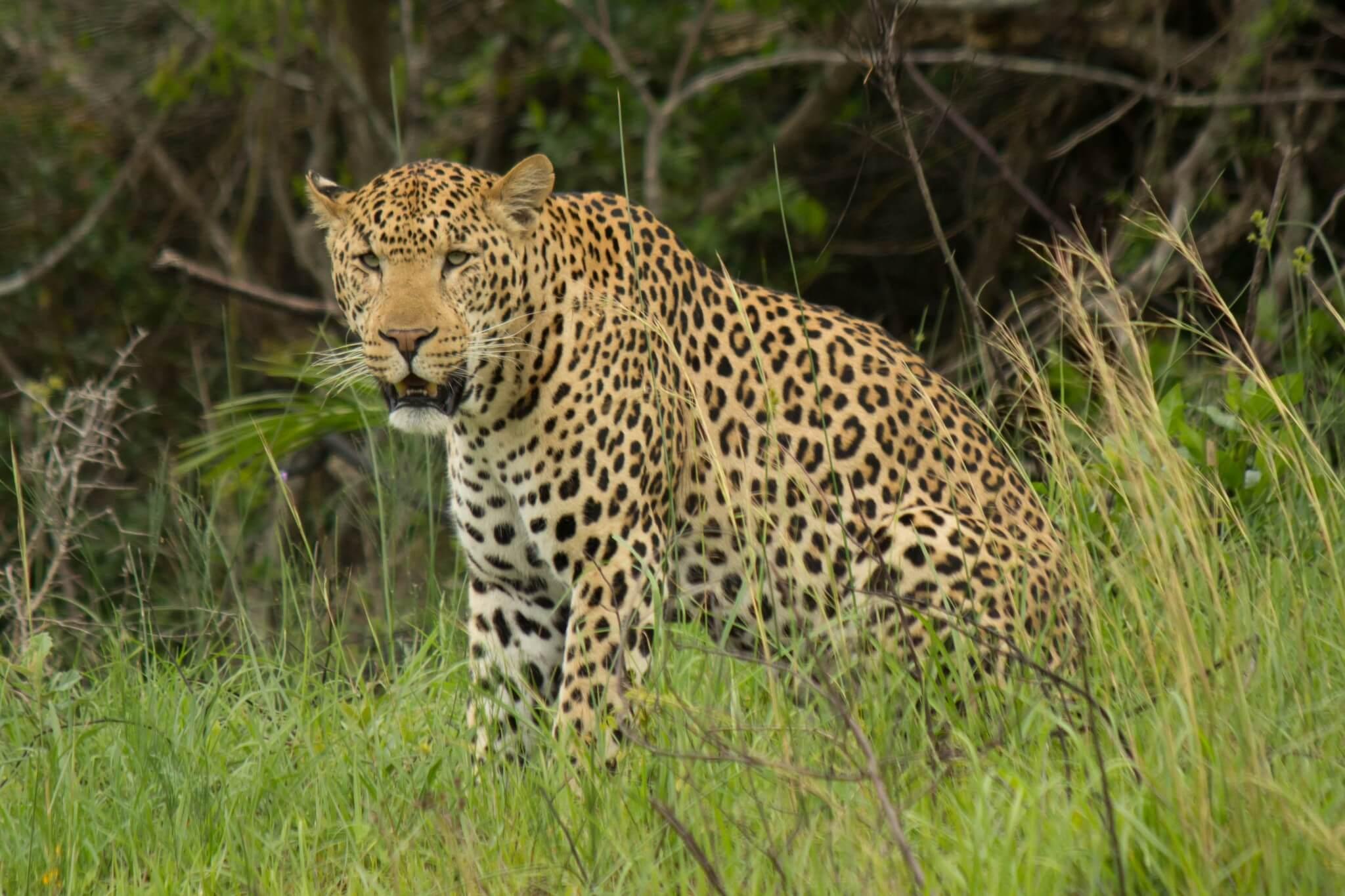 Leopard - Wildlife Vagabond