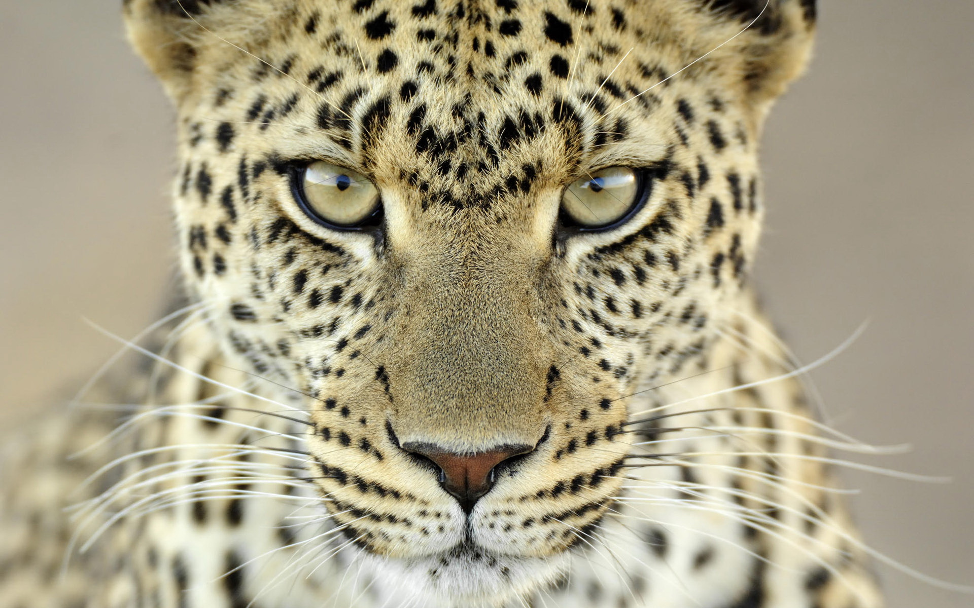 leopards images Leopard HD wallpaper and background photos (40623419)