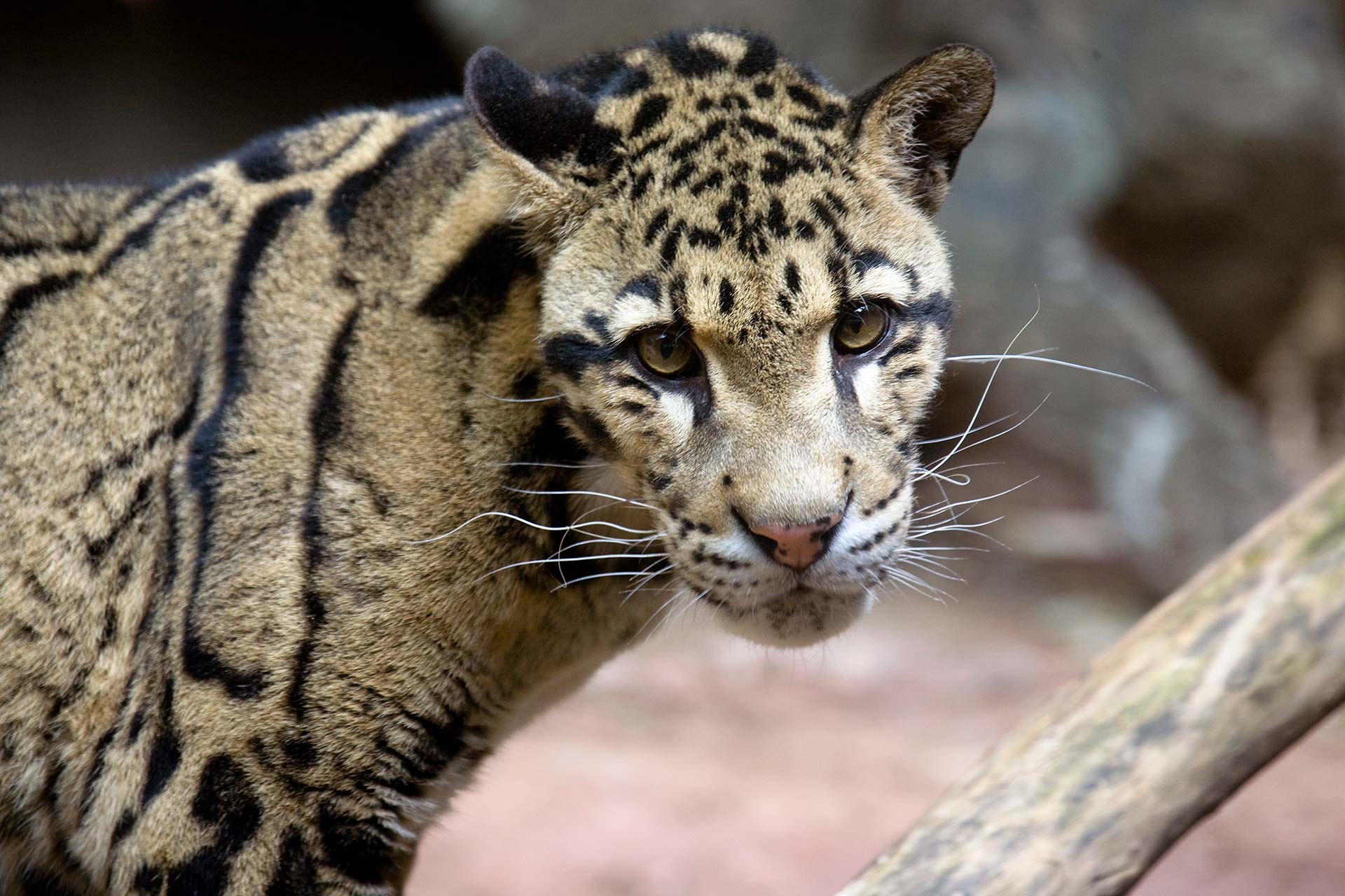 Clouded Leopard - Zoo Atlanta