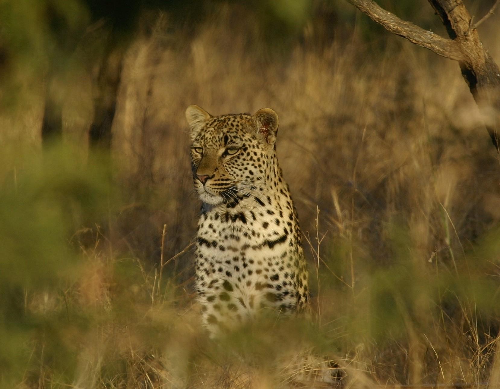 Leopard, Cat, Head, Hunter, Hunting, HQ Photo
