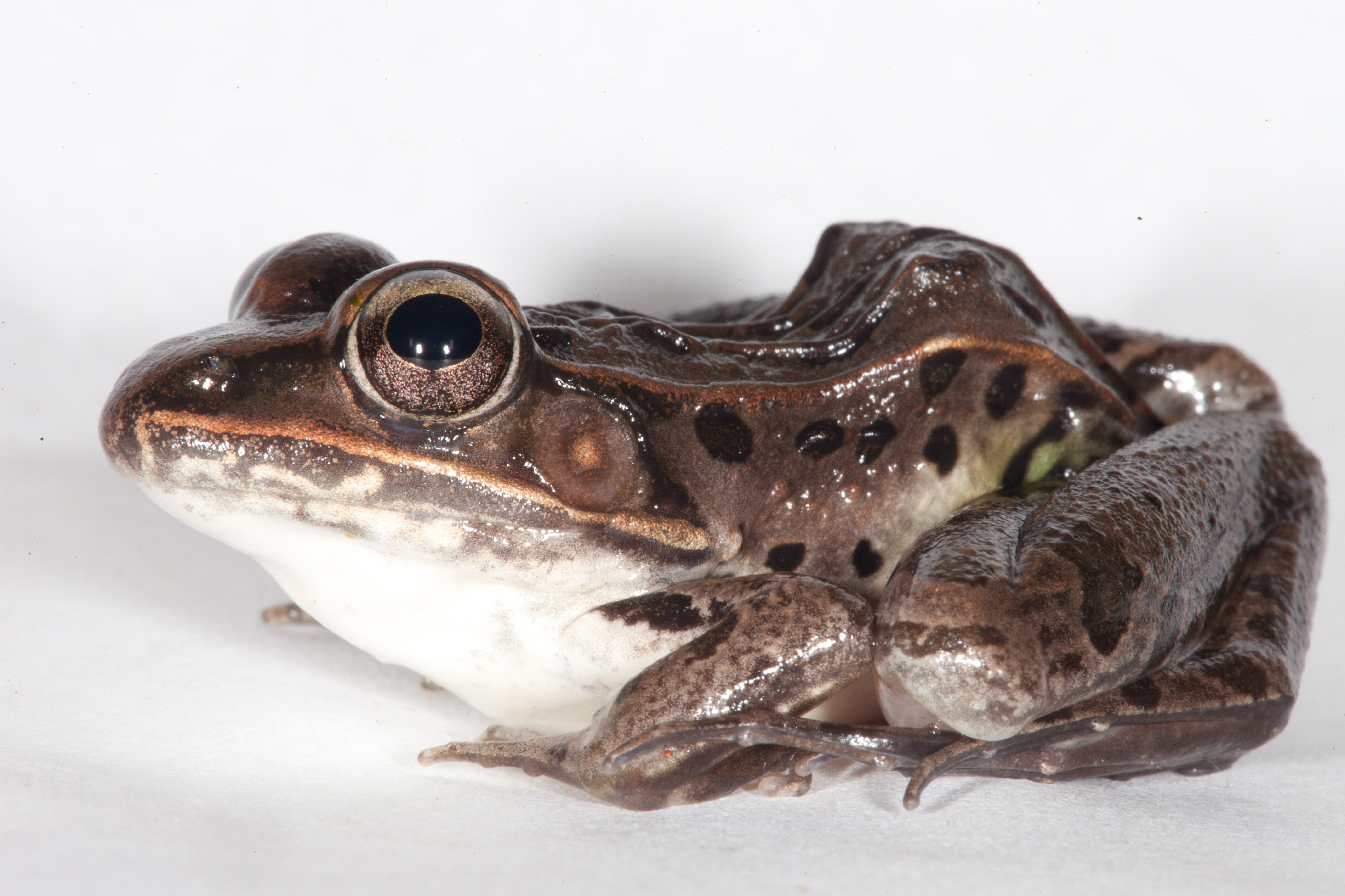 Leopard frog photo