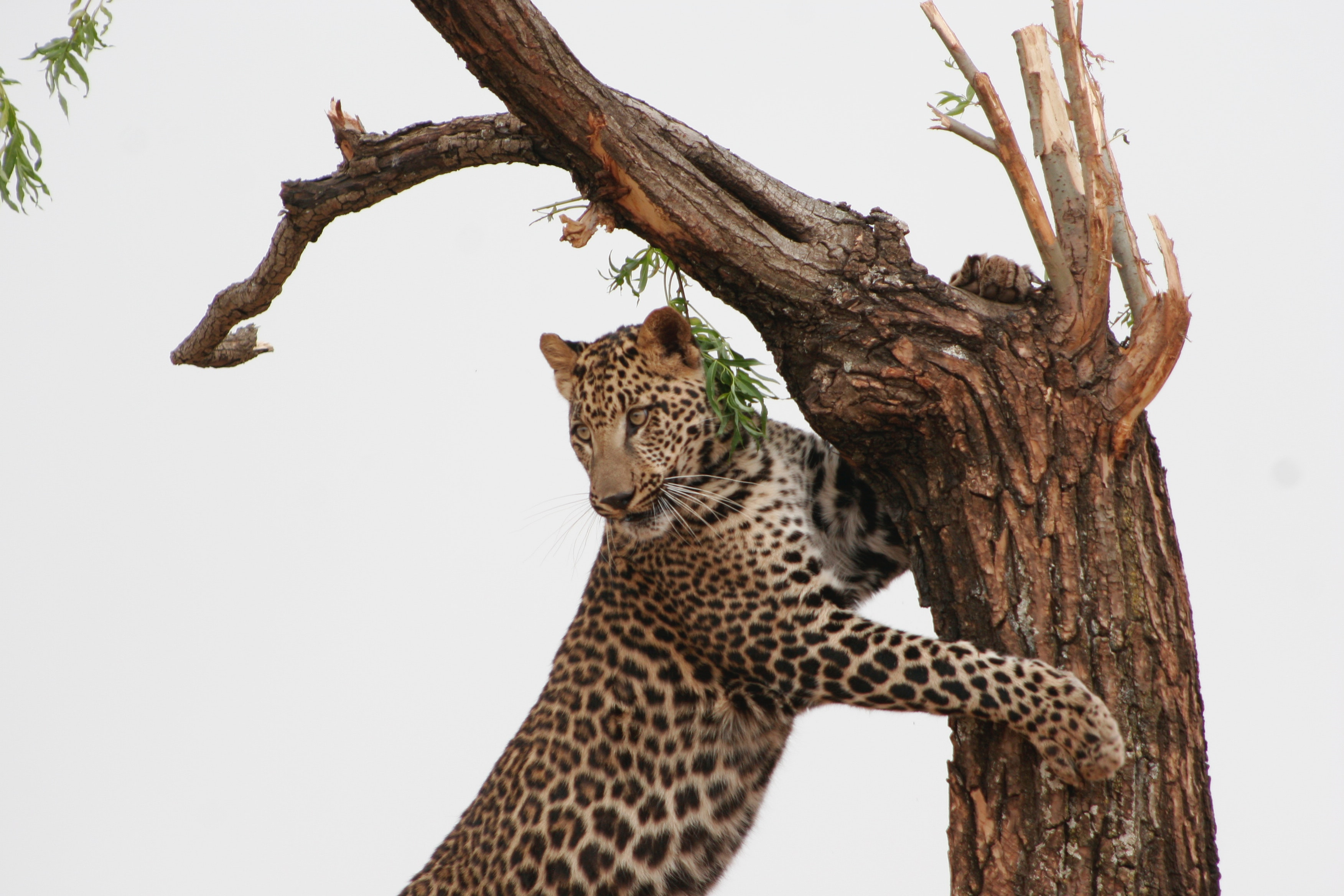 Leopard leaning on tree photo