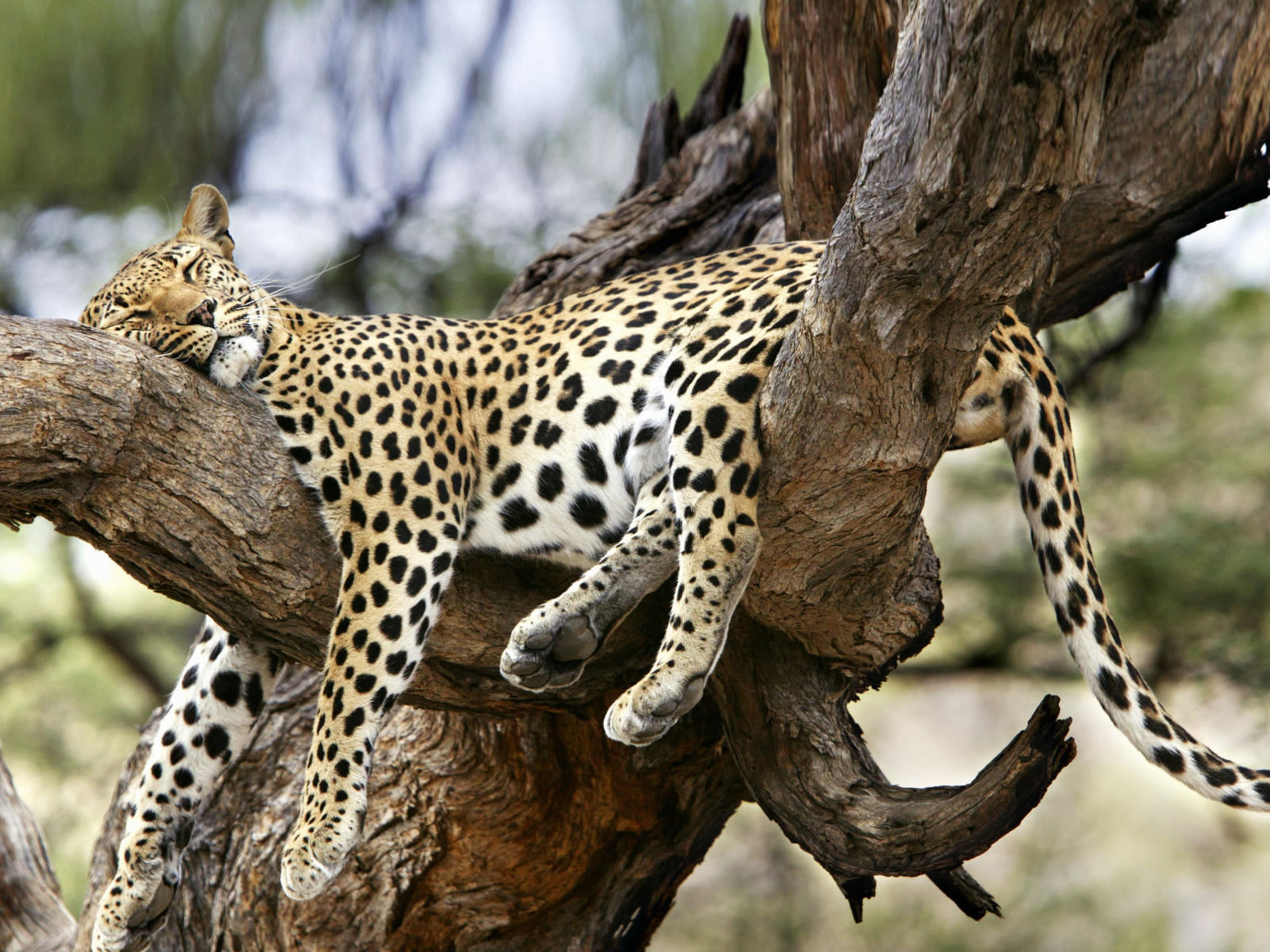 Leopard Sleep On Tree Wallpaper HD Wallpaper | WallpaperLepi