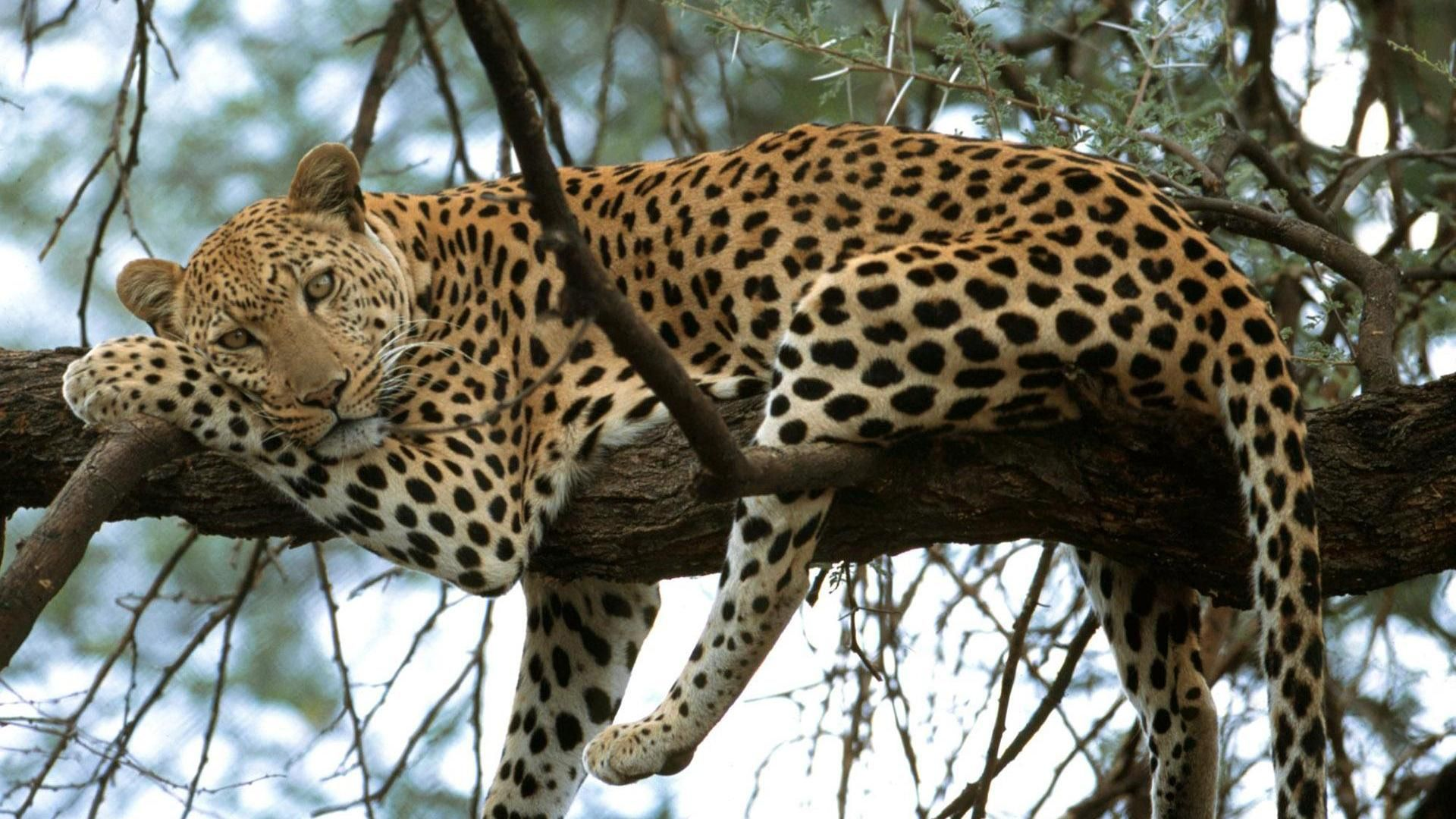www.wallpaperscharlie.com wp-content uploads 2016 07 Leopard-on-Tree ...
