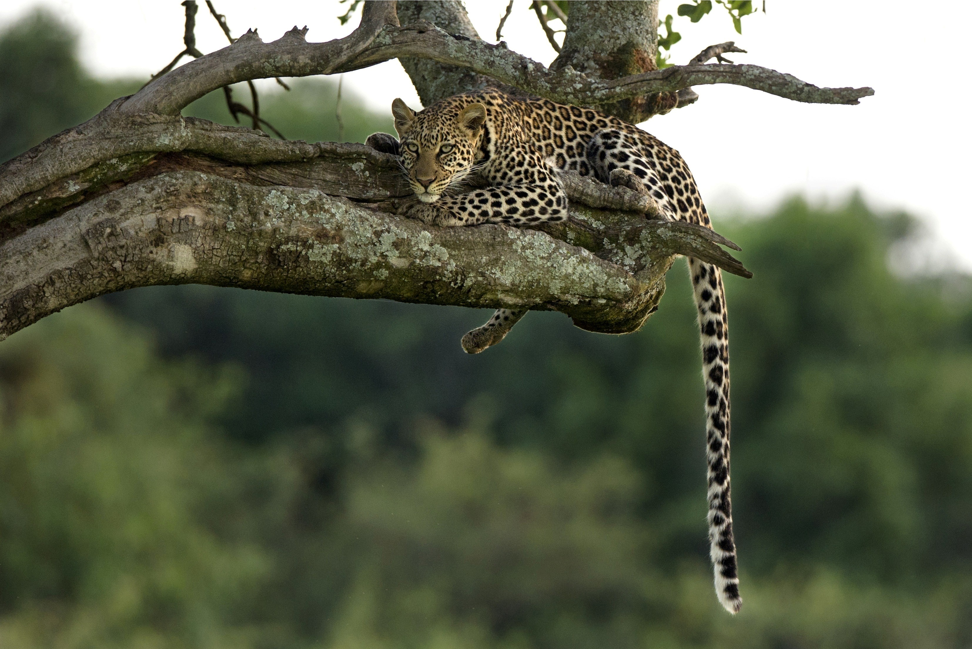 Leopard on the Tree | HD Wallpapers