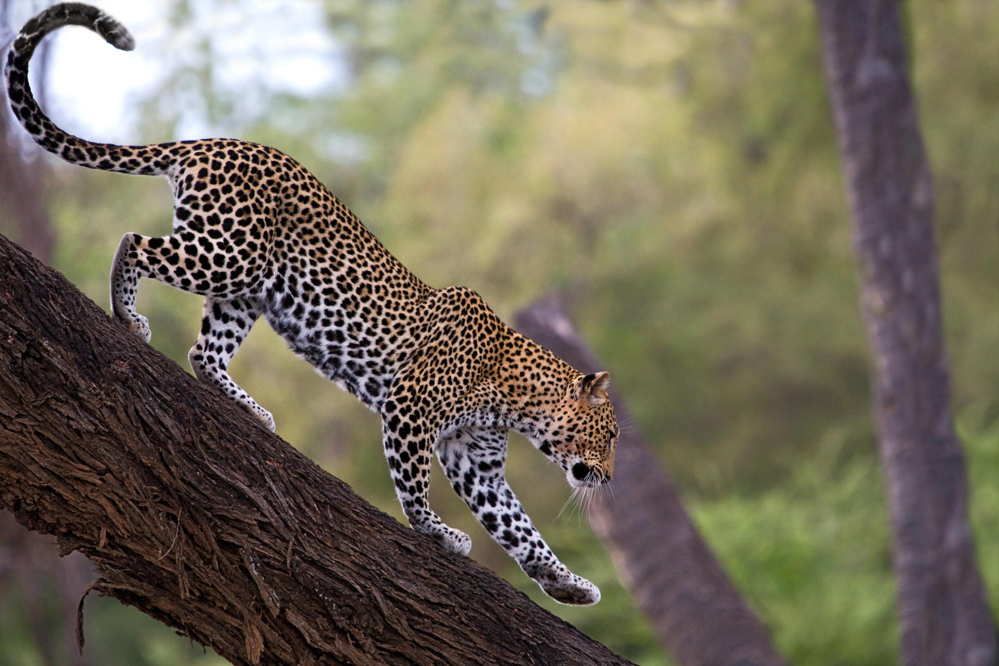 African Leopard Facts, Distribution, Habitat, Diet, Pictures