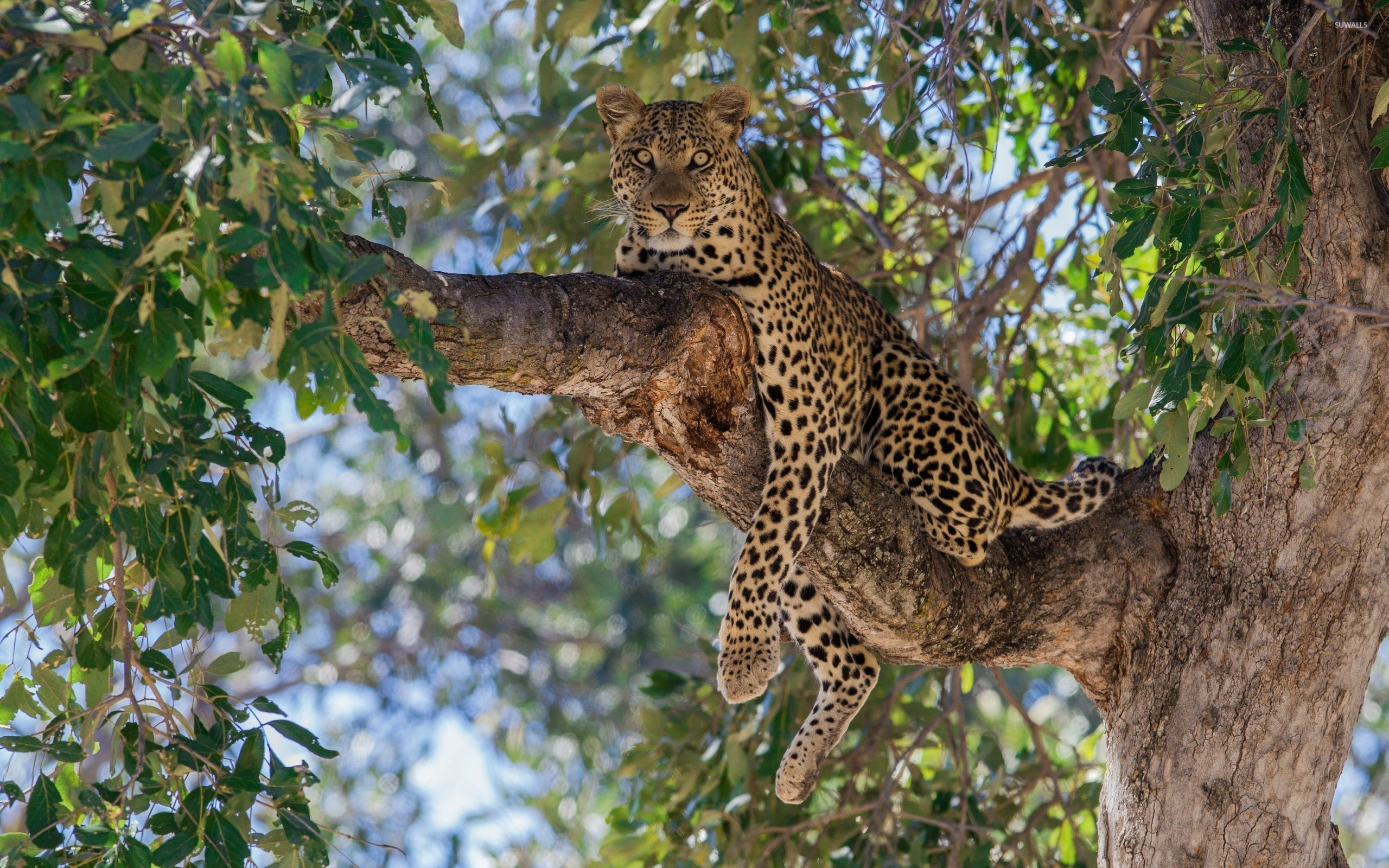 Leopard on a tree wallpaper - Animal wallpapers - #27244