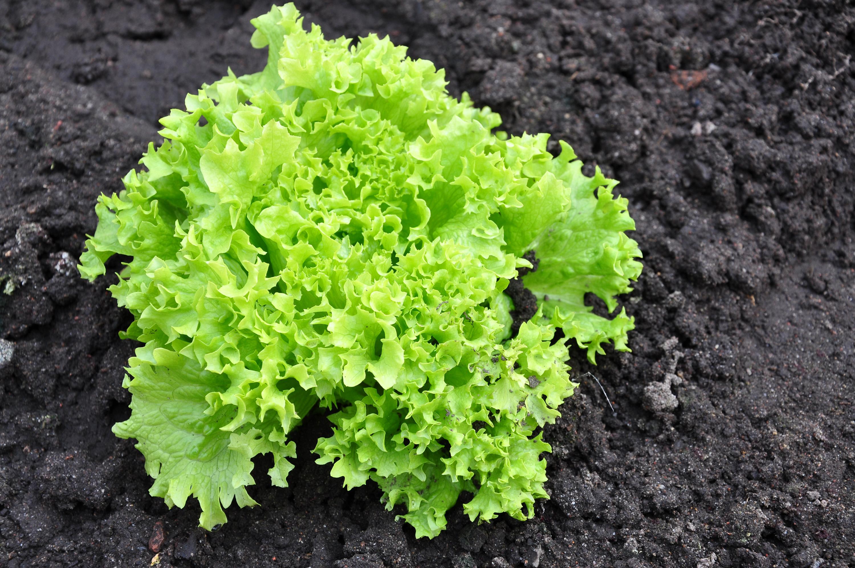 Lettuce in the garden photo