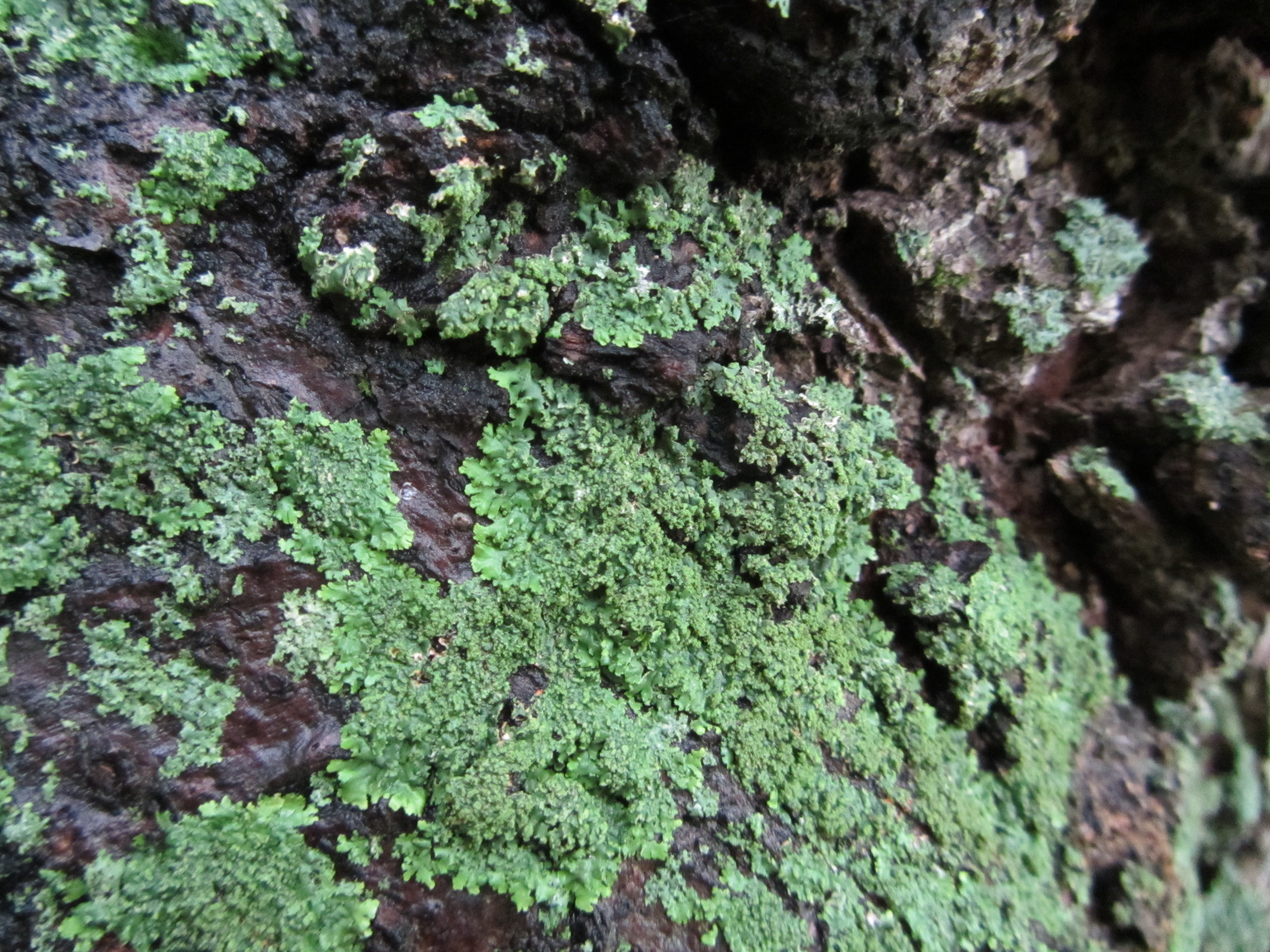 Lichens of the Arboretum » Arnold Arboretum