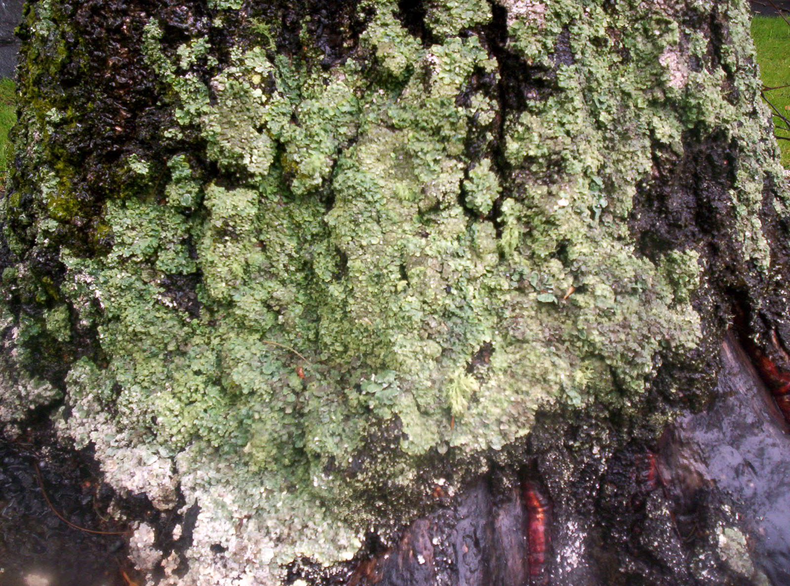 Lichen on West Facing Silver Birch 2, Lichen, Wet, Trunk, Tree, HQ Photo