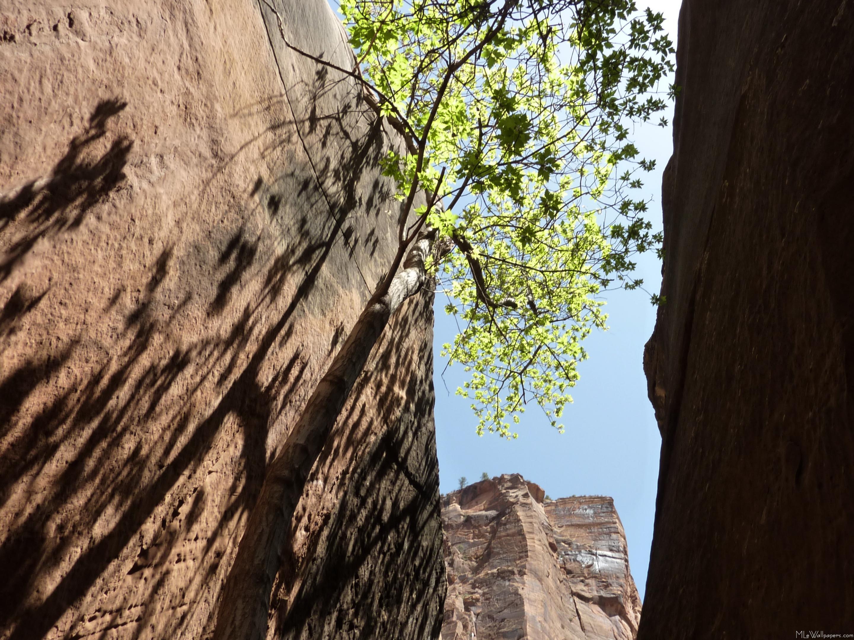 MLeWallpapers.com - Tree Growing Between Rocks
